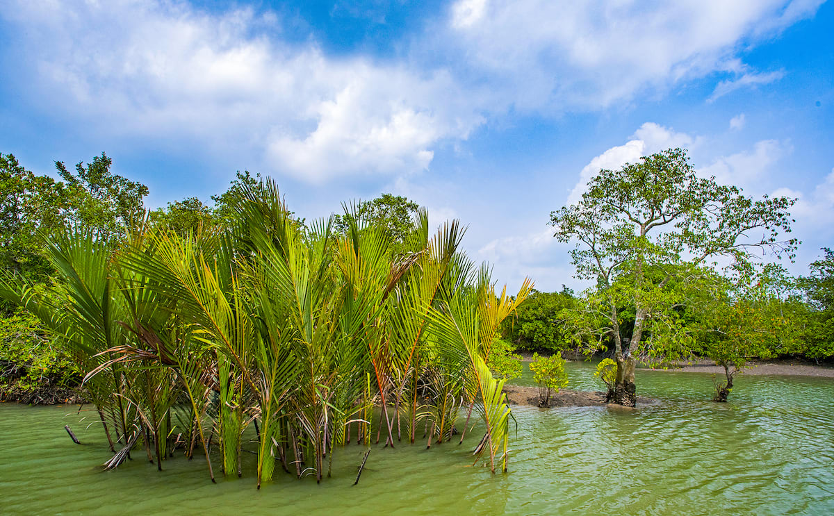 Nypa fruticans or golpata is a mangrove palm that is abundantly found in the forests of the Sundarbans. Locals use its leaves to thatch the roofs of their mud homes.