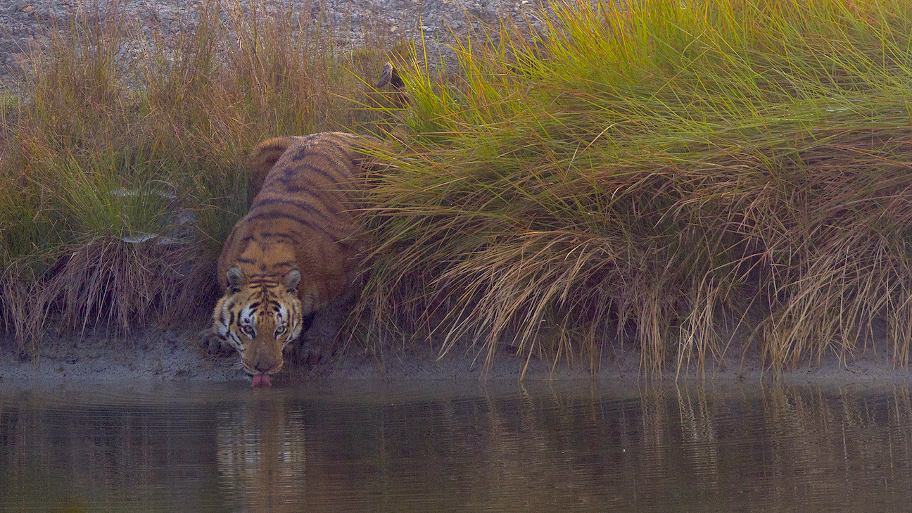 There are virtually no freshwater waterbodies in the Sundarbans, except for a few manmade ponds, like the one above, and tigers have adapted to drinking saline water here. Photo: Soumyajit Nandy