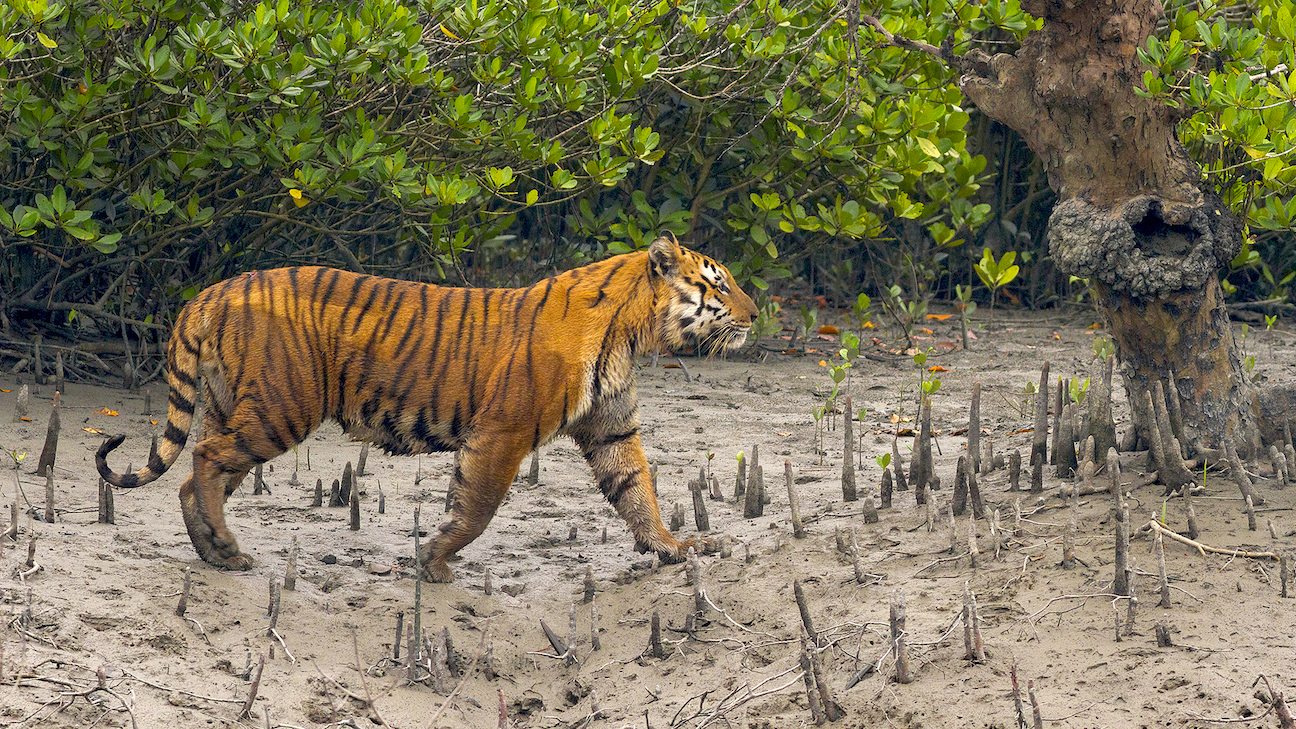 The Sundarbans tiger is shorter but more thickset than the tigers of the plains. However, despite the differences, several attempts to identify it as a separate species have not yielded conclusive results. Photo: Soumyajit Nandy