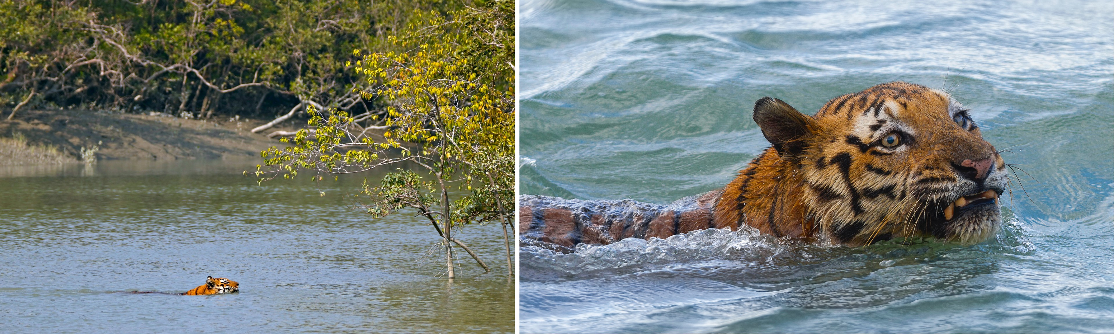 The Sundarbans tiger is a terrestrial-cum-aquatic mammal. Unlike the mainland tiger, the Sundarbans tiger has to regularly swim along rivers to hunt and to get from one island to another. Chances of spotting it are high when it is crossing a creek. Photo: Upamanyu Roy (left), Soumyajit Nandy (right)