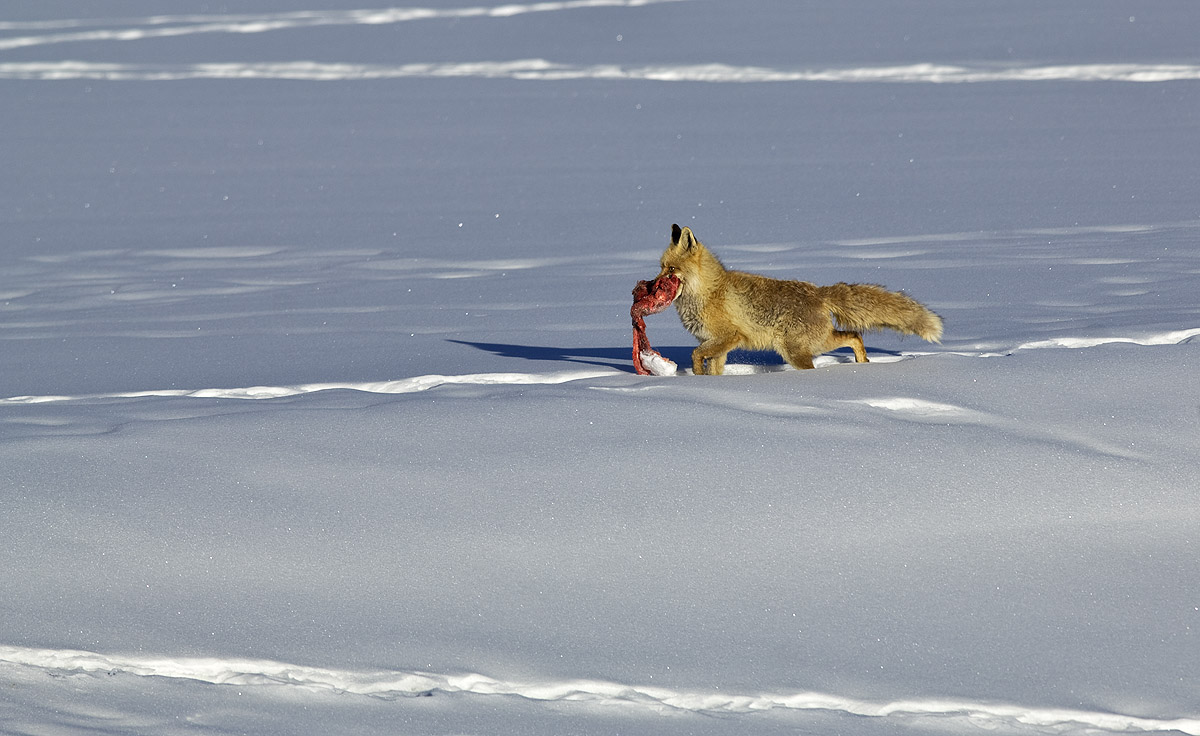 """The widespread population of red foxes is attributed to their omnivorous diet, which includes plants, fruits, and insects, as well as animal matter. They hunt small animals, scavenge on larger carrion, and snoop through human trash. In Spiti, """"they eat voles, hares, even sea buckthorn berries,"""" says Chandrima Home, who has researched both subspecies of the red fox in India."""