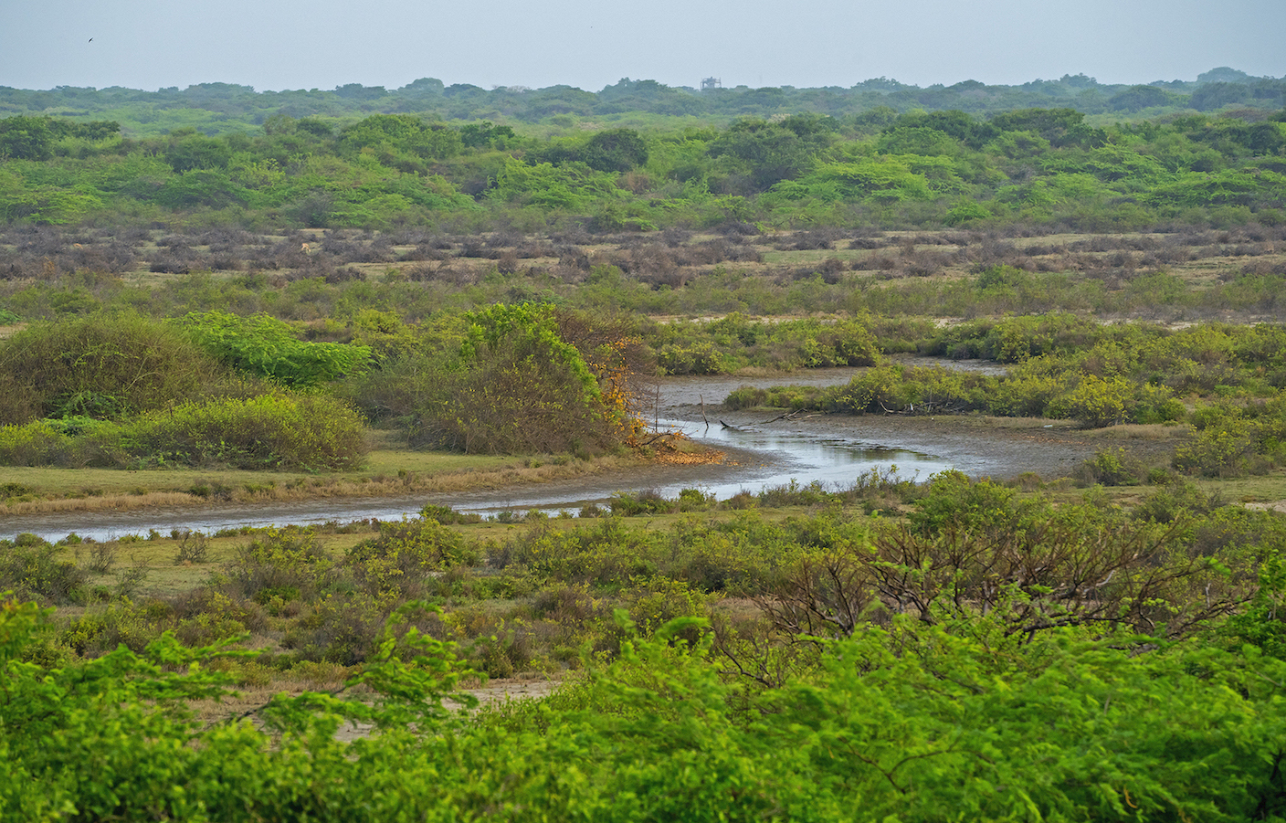 The swampy, marshy areas of Point Calimere sanctuary see a huge number of migratory waterbirds like spot-billed pelicans, black-headed ibises, flamingos, waders, and darters during the winters.