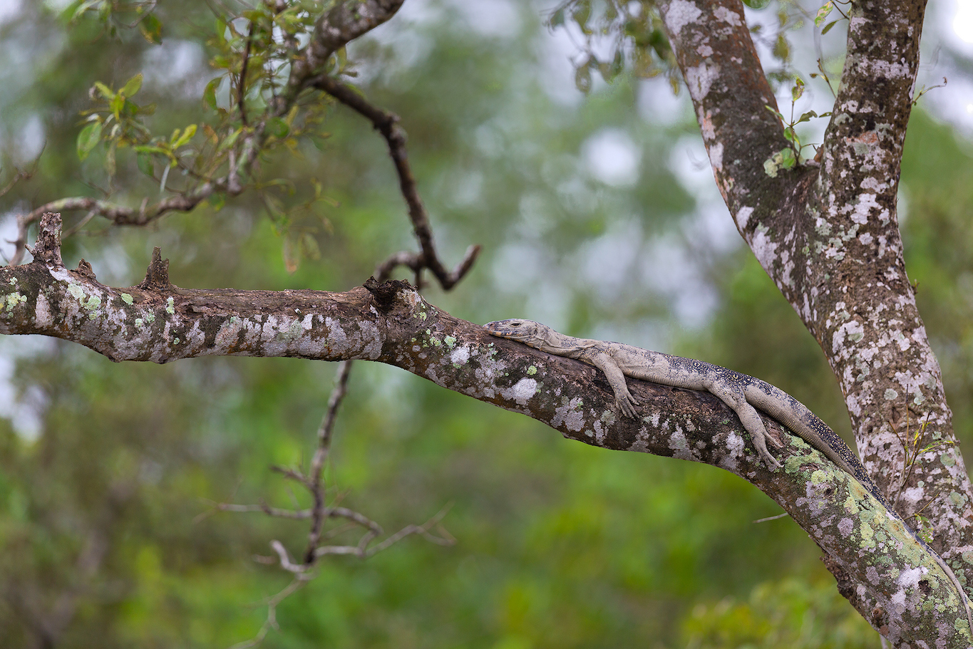 The mangrove forest supports an incredible biodiversity, which includes common species like the Bengal monitor lizard which is seen across a variety of habitats. Photo: Arindam Bhattacharya.