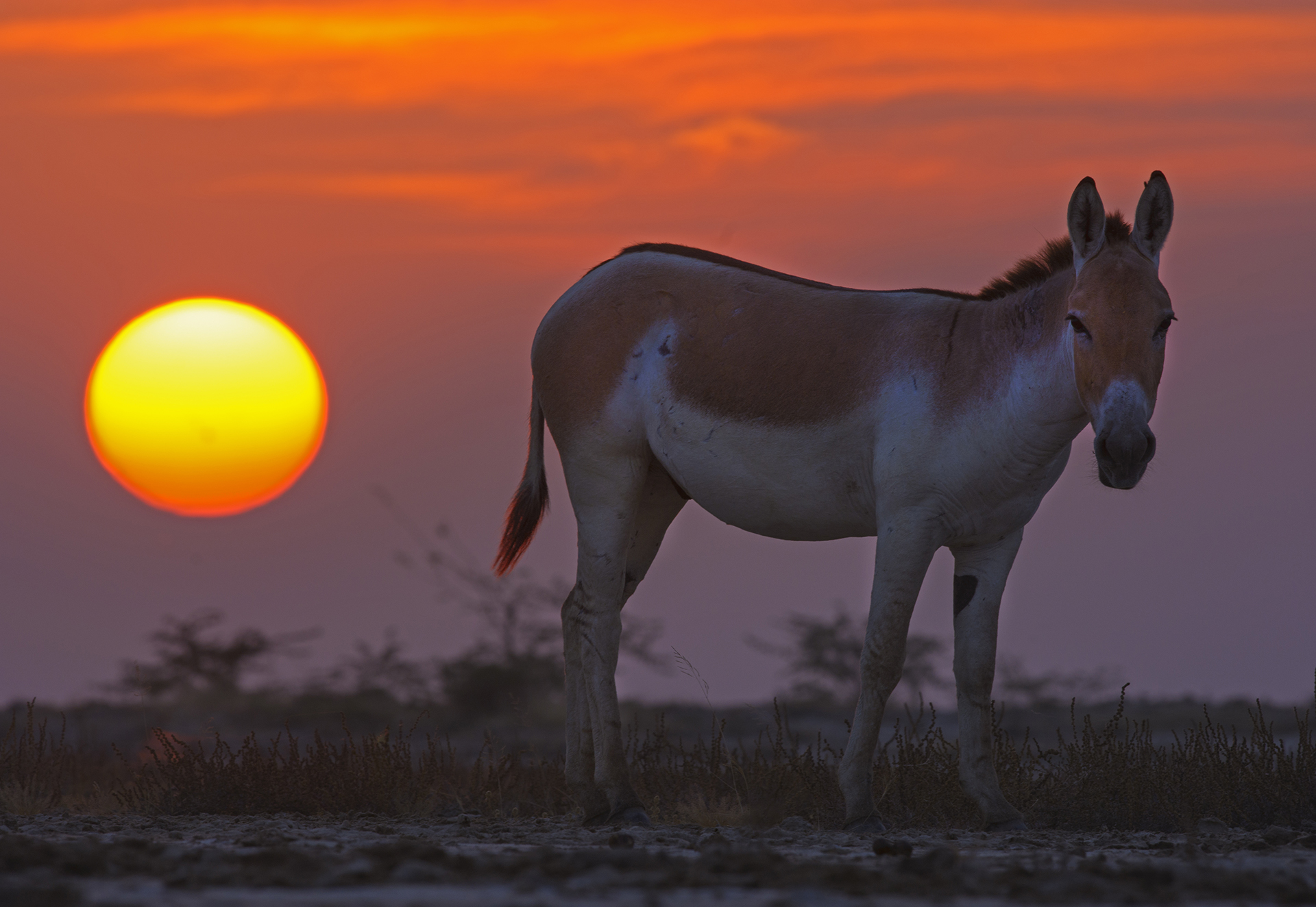 """The Little Rann provides ample grass for the grazing needs of the wild ass. However, in summer, when grass cover is reduced, it may also feed on the leaves and pods of the invasive species Prosopis, what locals refer to as gando bawal or """"mad tree""""."""