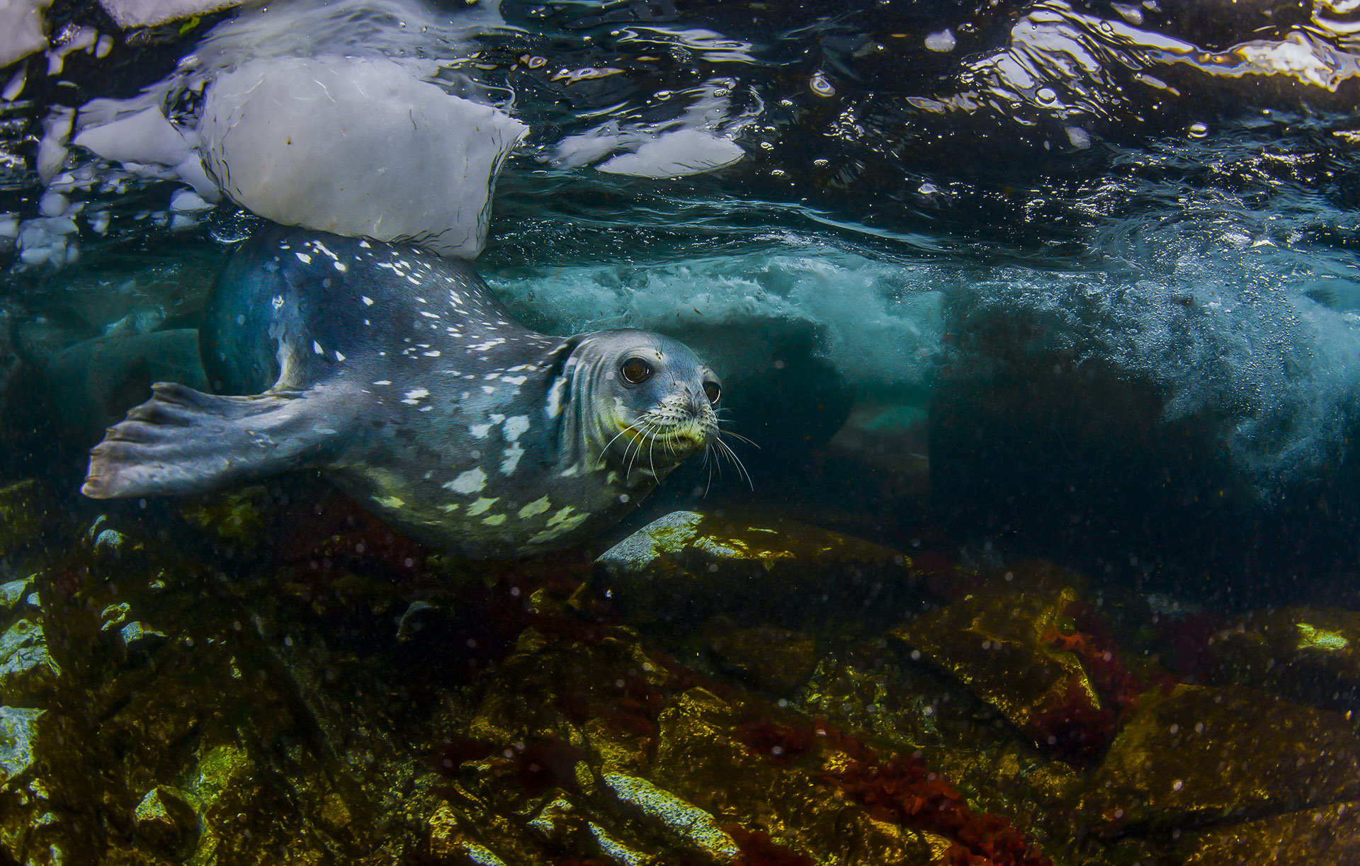 The strongest swimmer in the region is the Weddell seal, which can dive down 600 metres for food. Hunting at this depth gives them access to cod icefish (their favourite seafood) and keeps them clear of predators such as the leopard seal, which are known to hunt other seals.