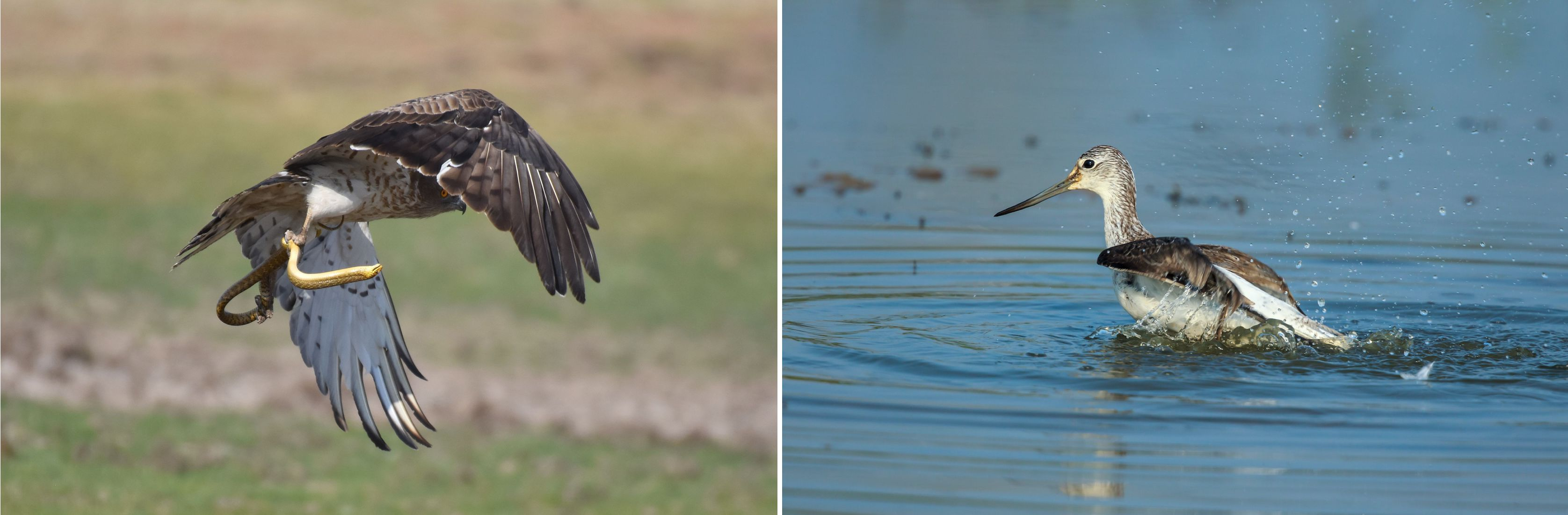 Short-toed snake eagle, a commonly seen raptor that hunts during the day and rests at night, takes off with a catch (left). The common greenshank is often seen wading in wetlands, foraging by sweeping the waters with its long bill. This one was photographed in Goa (right). Photo: AshishTripurwar CC BY-SA 4.0 (left), Edwin Godinho/Shutterstock (right)