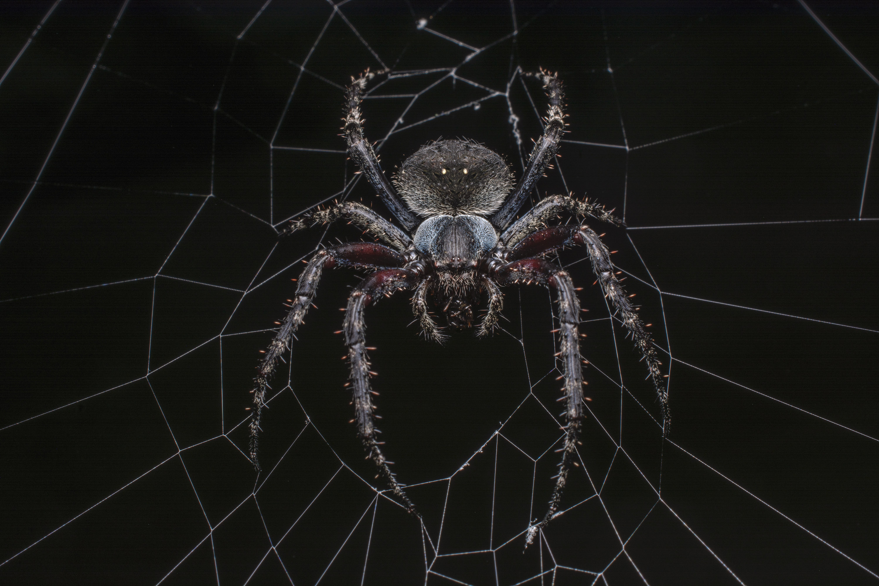 An orb-weaver spider feeds on a midnight snack. Orb-weavers can be found everywhere from dense forests to home gardens. Photo: Samuel John