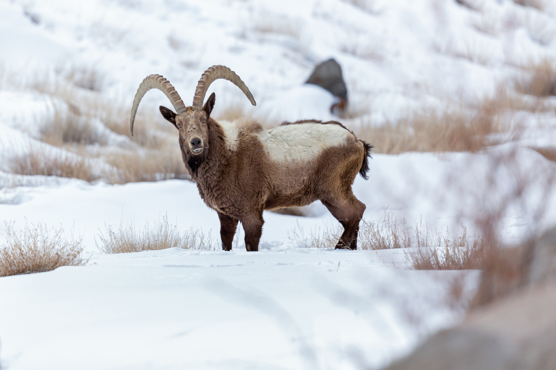 The Pin Valley is the ideal habitat for wild goats such as this large male Asiatic ibex. The ibex and their domestic cousins have a similar diet, leading to competition for resources. Photo: Arindham Bhattacharya  A herd of livestock crosses a treacherous pass between the Bhaba Valley in Lower Kinnaur and the Pin Valley in Spiti, both in Himachal Pradesh. Herds undertake these migrations to exploit the ephemeral summer blooms of the high Himalayas. Cover Photo: Munib Khanyari