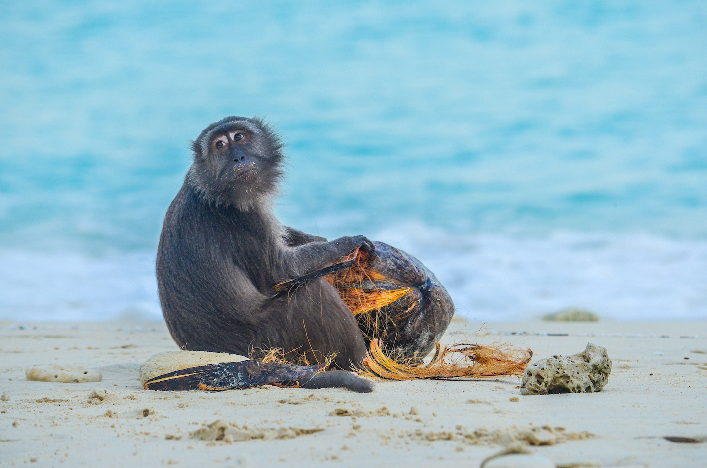 Macaque troops that live close to the coast often venture onto the beach in search of seeds, crustaceans, or scraps that people have discarded. This male found an old coconut and is shredding it in the hope of finding copra inside.