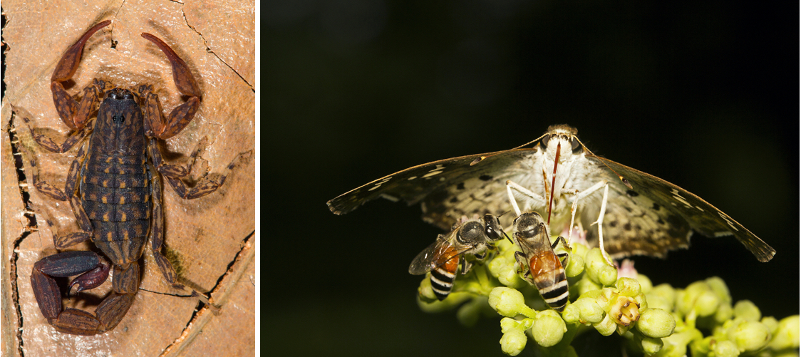 The forest is teeming with smaller creatures that can easily be missed, whether it's scorpions, like the Lychas aareyensis (left), hiding under rocks or the dainty golden angle (right) flitting from plant to plant. Photos: Rajesh Sanap (left); RealityImages/Shutterstock (right)