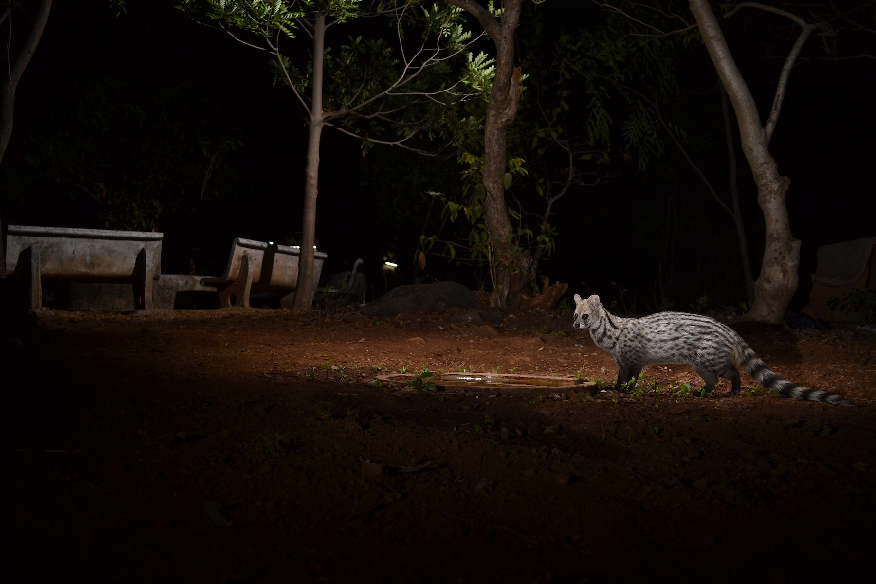 In addition to leopards, several mammals are residents of Aarey: rhesus macaques, spotted deer, flying fox and small Indian civets, like this one pictured at an artificial watering hole. Photo: Ranjeet Jadhav