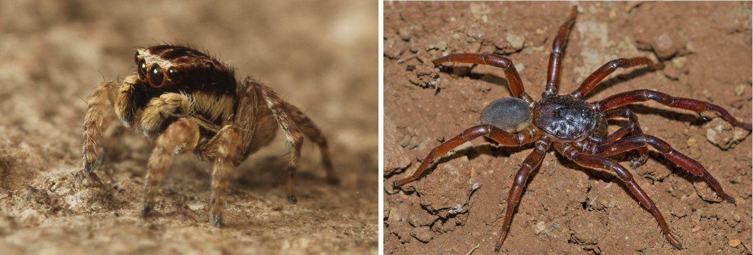 Aarey continues to surprise researchers and naturalists with its treasures. In the last few years, a new species of jumping spider, Langelurillus lacteus, (left) and trap door spider, Idiops rubrolimbatus, (right) have been discovered there. Photos: Rajesh Sanap