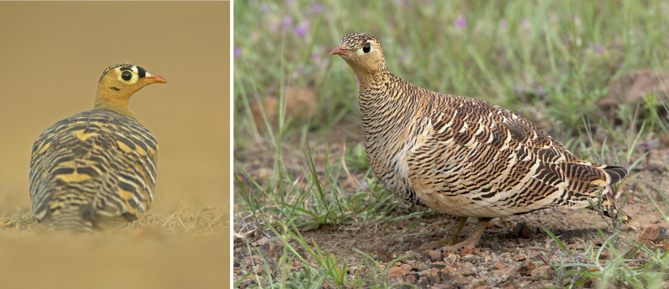 Painted sandgrouses are monogamous, usually gathering in small groups of couples. They usually gather to drink water after dusk, keeping a low profile for most of the day. A male (left) and female (right) are seen here. Photo: Dhritiman Mukherjee (left), Mihir Godbole (right).