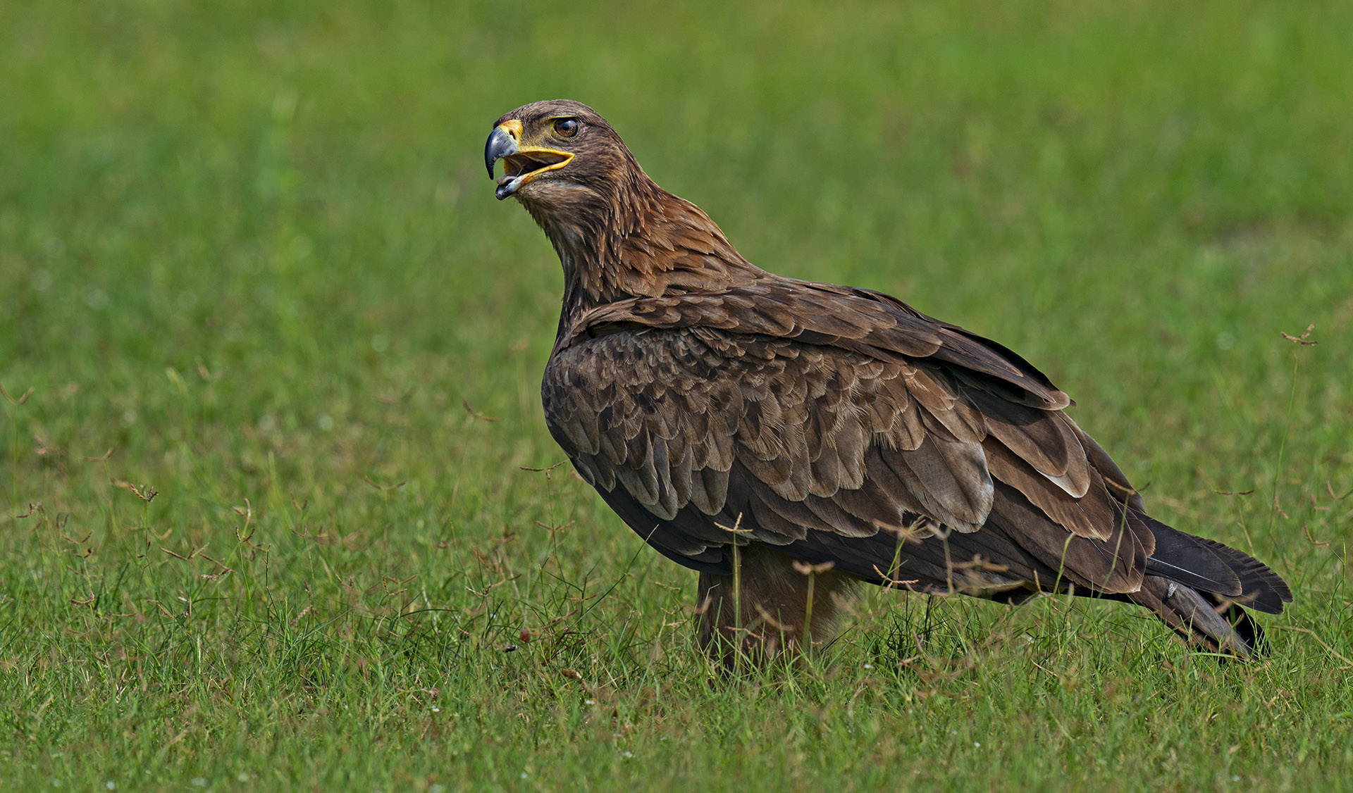The tawny eagle (Aquilla rapax) is a little smaller in size. This regal bird of prey is found in arid habitats ranging from Saharan Africa to the Middle East and South Asia, and eats a range of prey, from rodents to small birds and mammals. Like other raptors, this eagle too will feed on carrion if available. Photo: Dhritiman Mukherjee