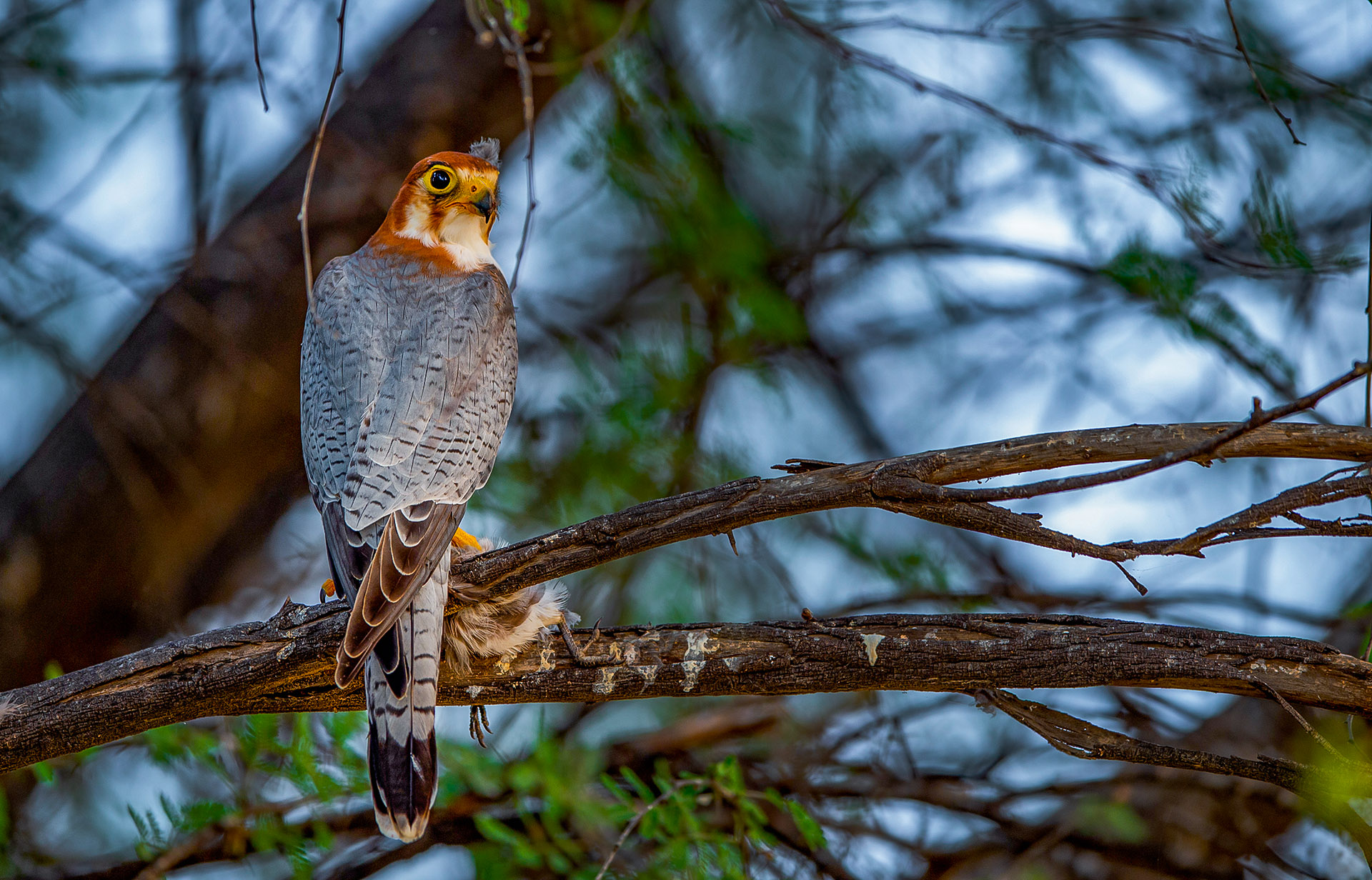 """Like the laggar falcon, the red-necked falcon (Falco chicquera) also has a yellow beak and feet, and """"nests around villages or even within densely populated cities in India,"""" according to the IUCN. Studies show breeding populations in Gujarat and Rajasthan, and in cities like Pune and Bengaluru, though increased human habitation has led to a decline in their numbers. """"Possibly due to pesticide use,"""" says Dr Rahmani, """"as they feed on small birds and large insects,"""" that have ingested the chemicals. Red-necked falcons are known to occupy abandoned nests of crows and other raptors. Photo: Sourabh Bharti/Shutterstock"""