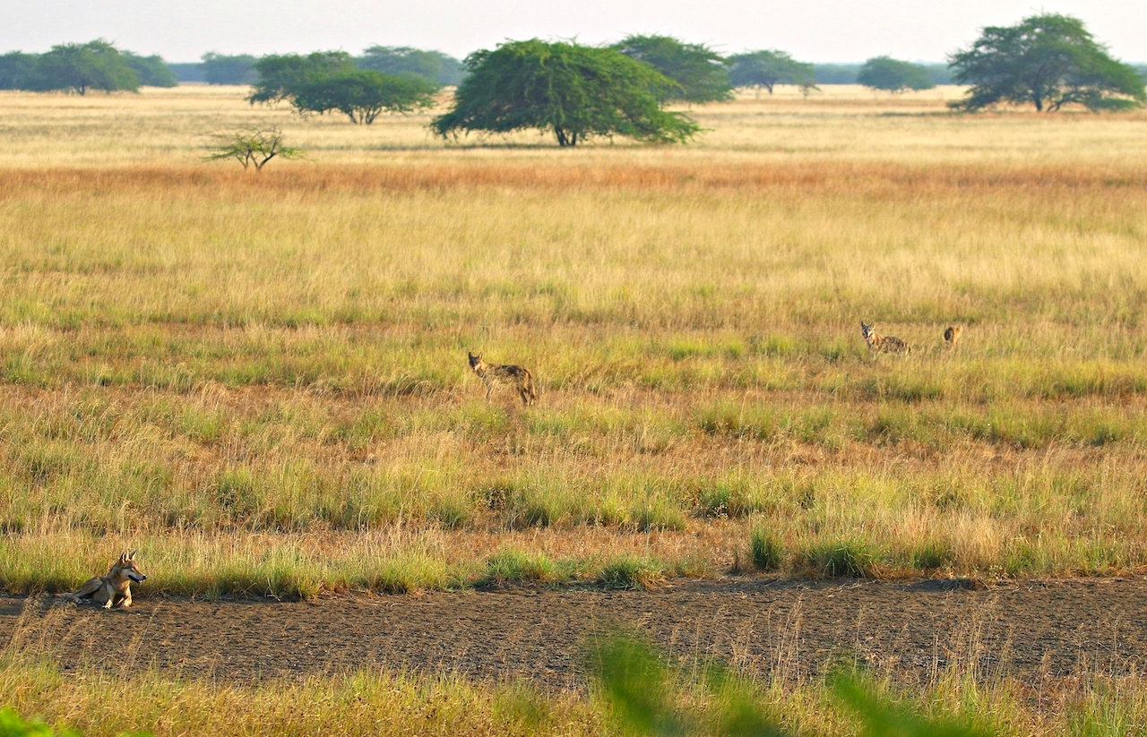 Grasslands are expansive habitats, ideal for predators like the wolf to spot prey, and for wildlife enthusiasts to observe them from a distance. Photo: Pratim Partha Kundu  Like other members of the antelope family, blackbuck* are agile and athletic runners. Calves and females (pictured here) are light brown in colour while males have a darker hide that gives the species its English name. Cover photo: Dhritiman Mukherjee