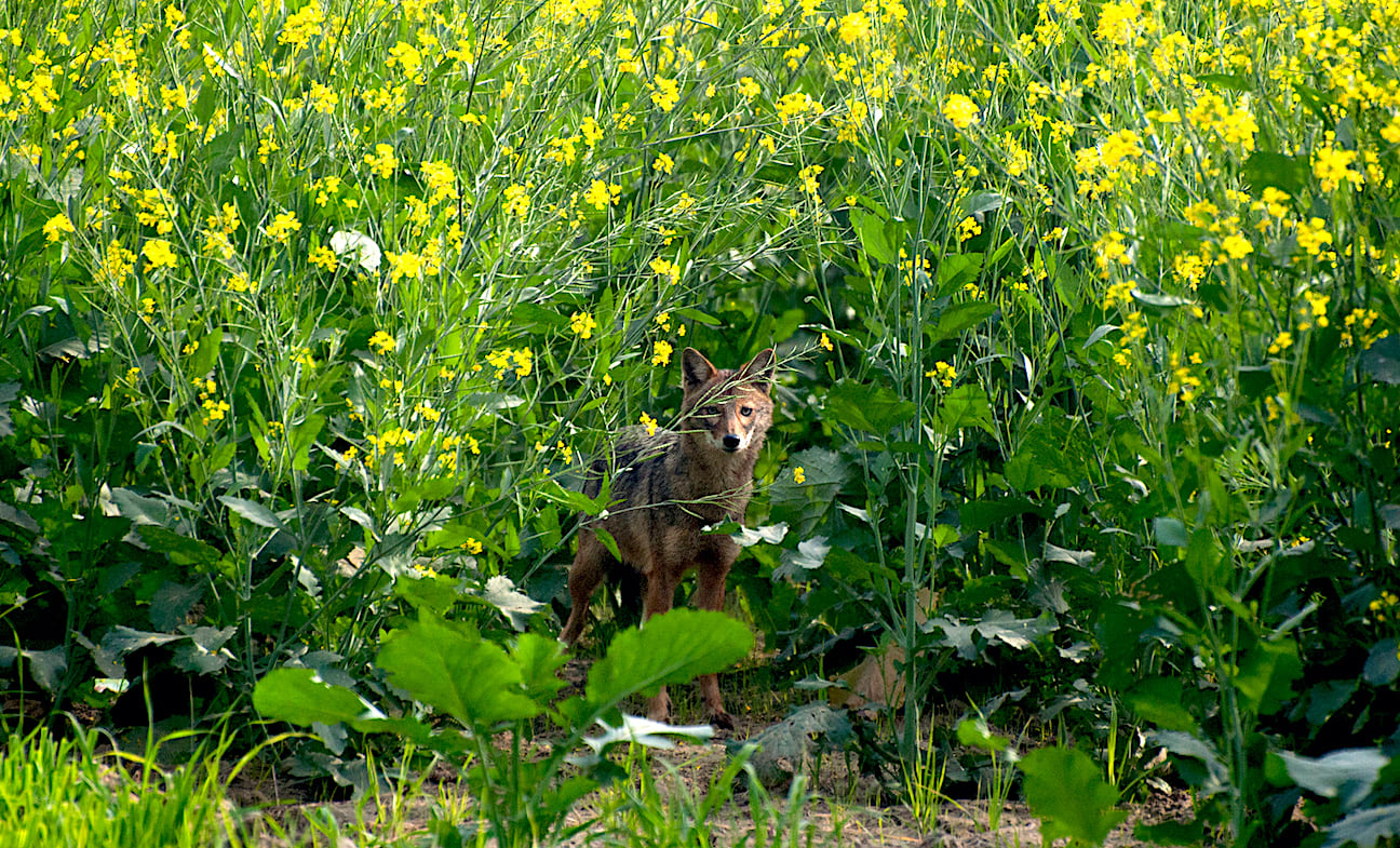 It's hard to believe that jackals thrive so close to the bustle of Gurugram, but they have lived among the mustard fields of Basai for a long, long time. Photo: Abhishek Gulshan