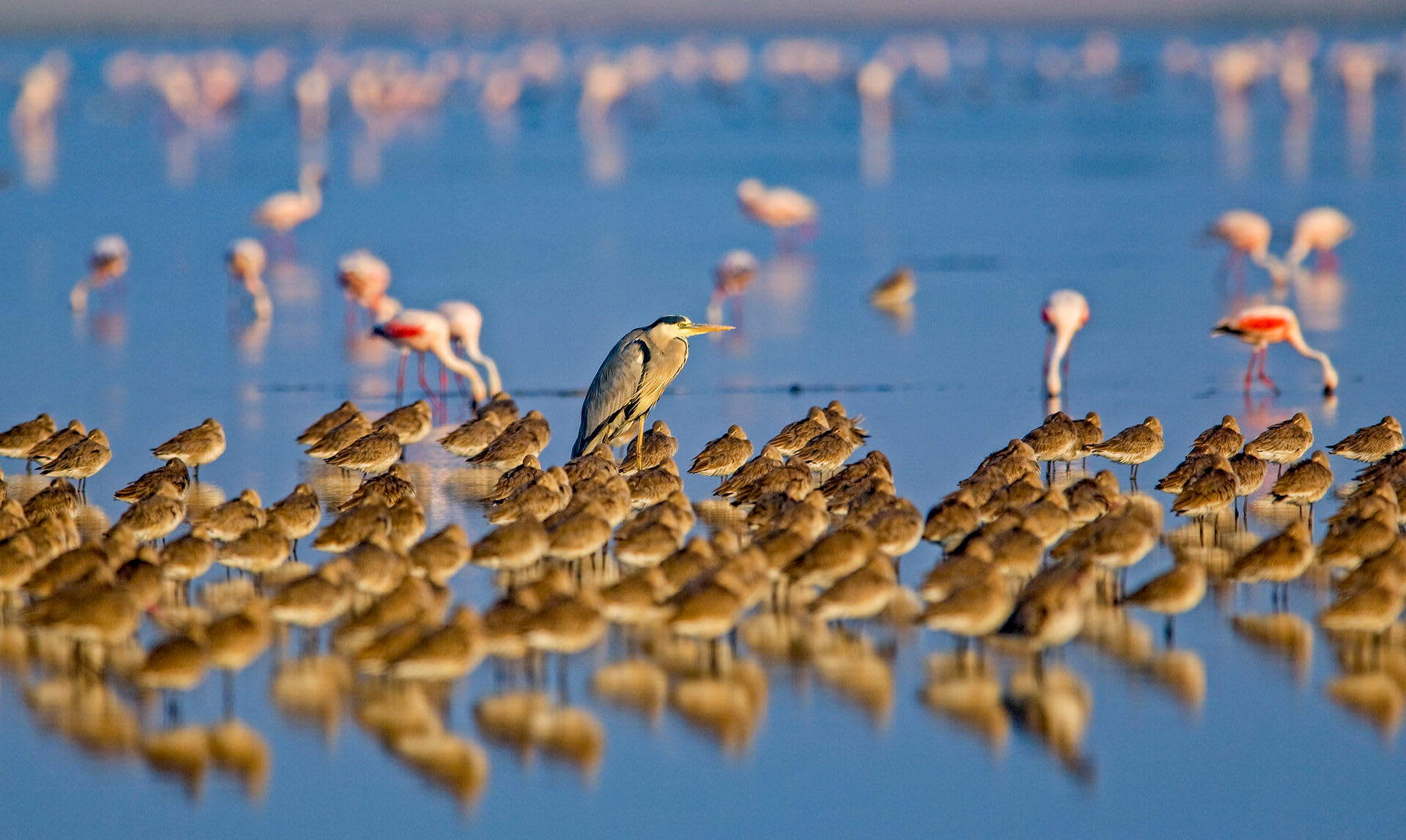 Despite their temporary nature, the water bodies in the Little Rann of Kutch are hotbeds of activity, inhabited by numerous species in proximity. In the image on top, a grey heron surveys the landscape, surrounded by godwits and flamingos. The region also hosts the yellow-wattled lapwing (above left) and the sociable lapwing (above right).