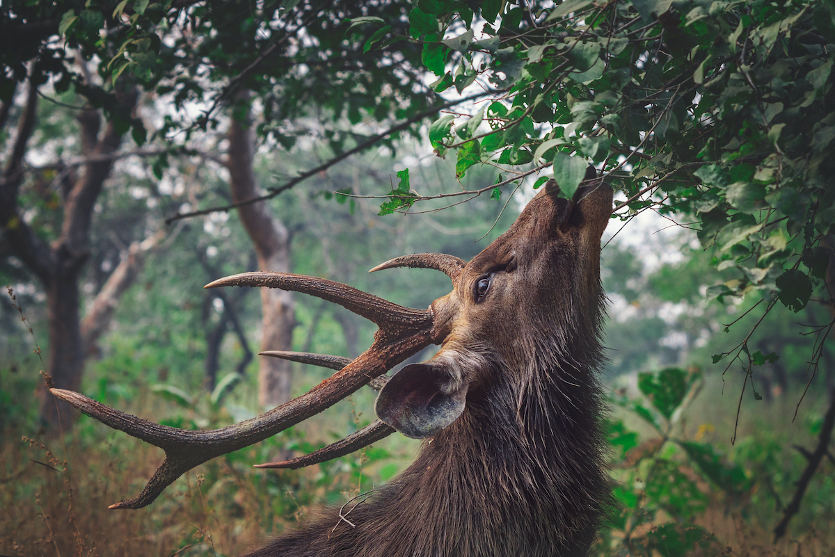 The reserve's verdant cover is a rich grazing ground for several ungulate species including sambar deer, which sustain a healthy tiger population. Photo: Revati and Charles Victor/Shutterstock