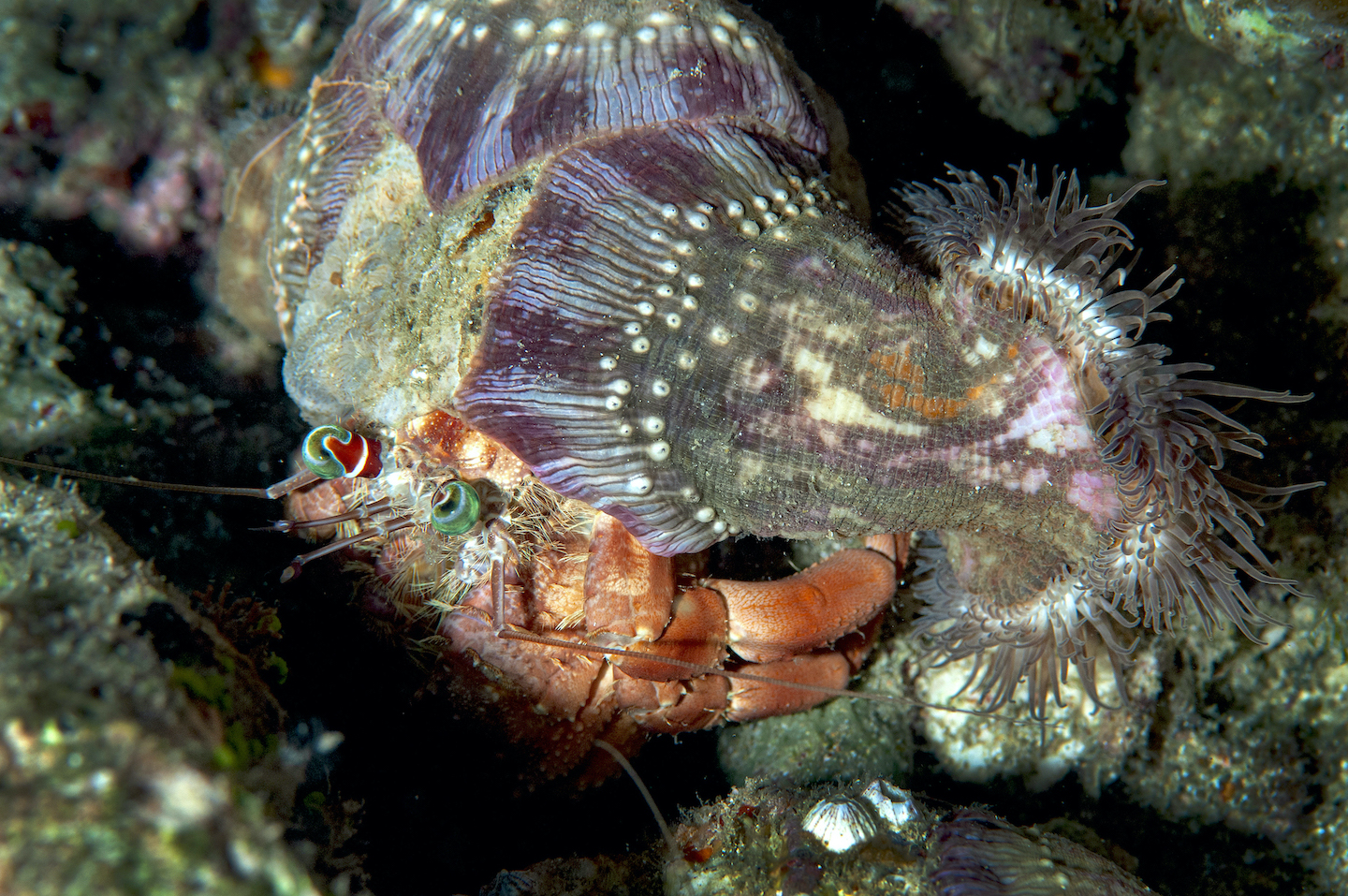 A Dardanus hermit crab heavy with anemones on its shell. Beneficial as their presence may be, carrying them around as it forages is not an easy task.  Cover photo: If a hermit crab has, sitting upon its shell, two types of algae, a couple of hydroids, a tunicate, and a feather star, can we not call it an ecosystem?