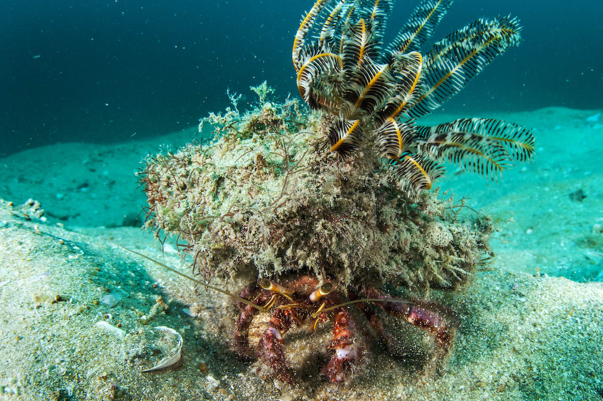 Project Camouflage: Styles and Survival Strategies of Decorator Crabs