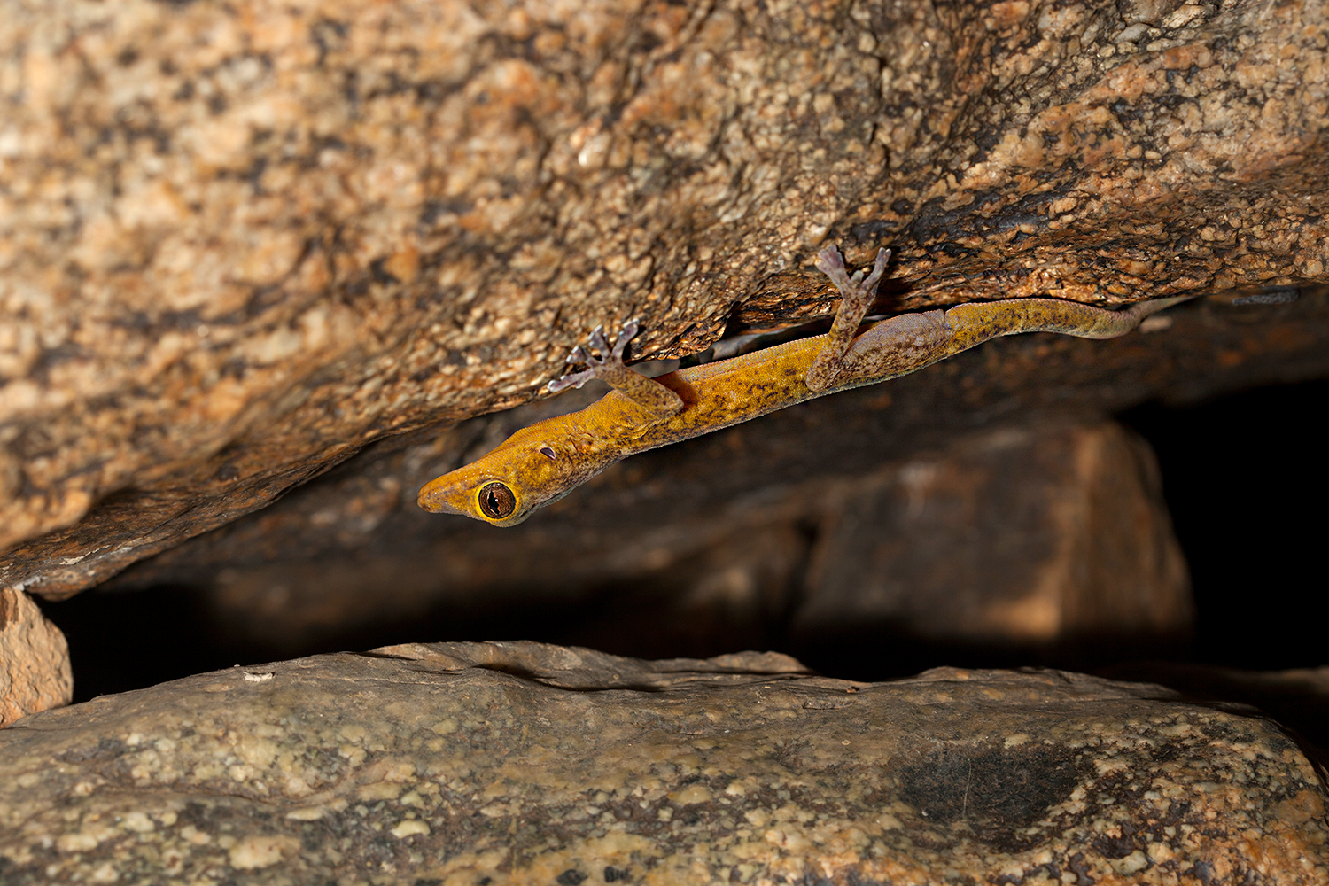 Golden geckos are adapted to living in rocky habitats and are often found in old ruins.  The golden gecko was re-discovered in India from the hills near Tirupathi. The males are known to turn golden yellow in the breeding season and hence the name 'golden gecko'.