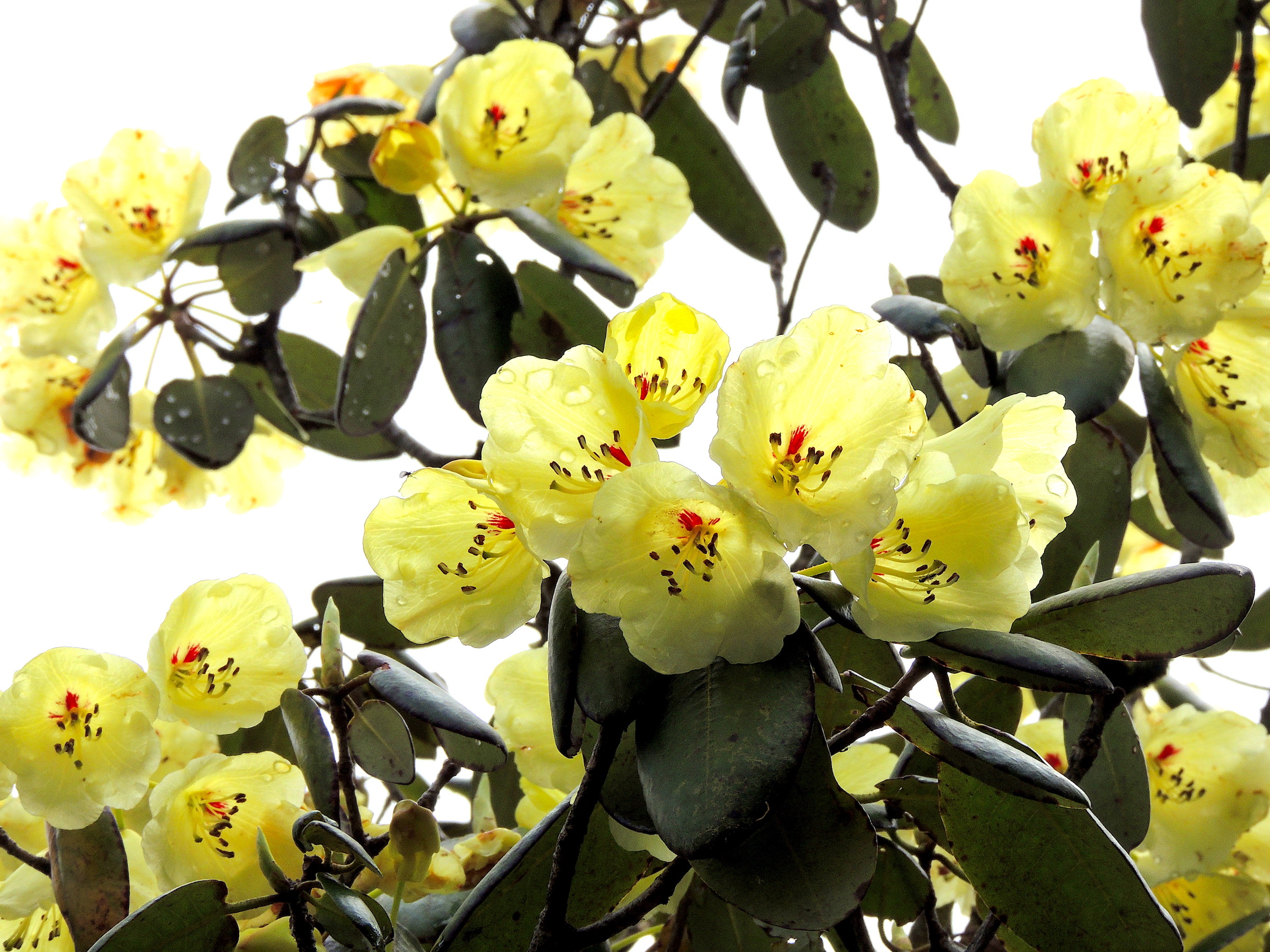 Rhododendrons: Superflowers of the Himalayas
