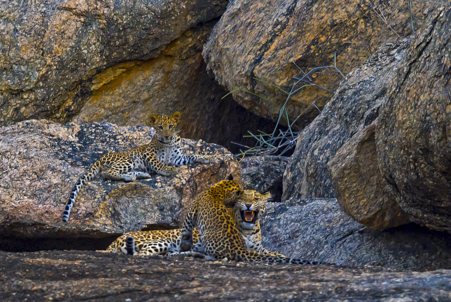 Rocky outcrops are extremely important habitats for leopards to survive and breed, especially outside protected areas. But these ancient rock forms are severely threatened due to quarrying. Photo: Dhritiman Mukherjee