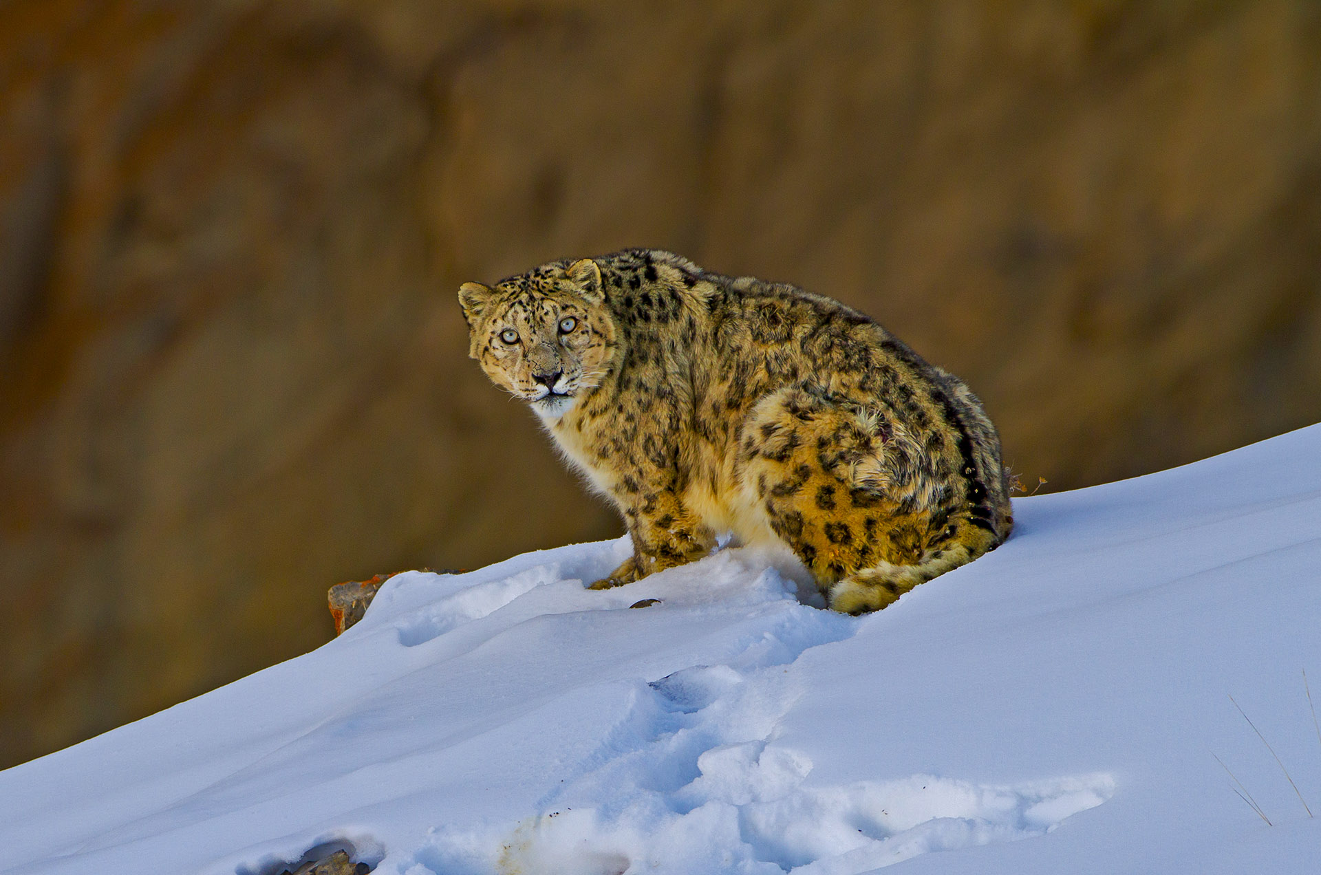Dhritiman's first-ever snow leopard sighting in 2011 at Spiti