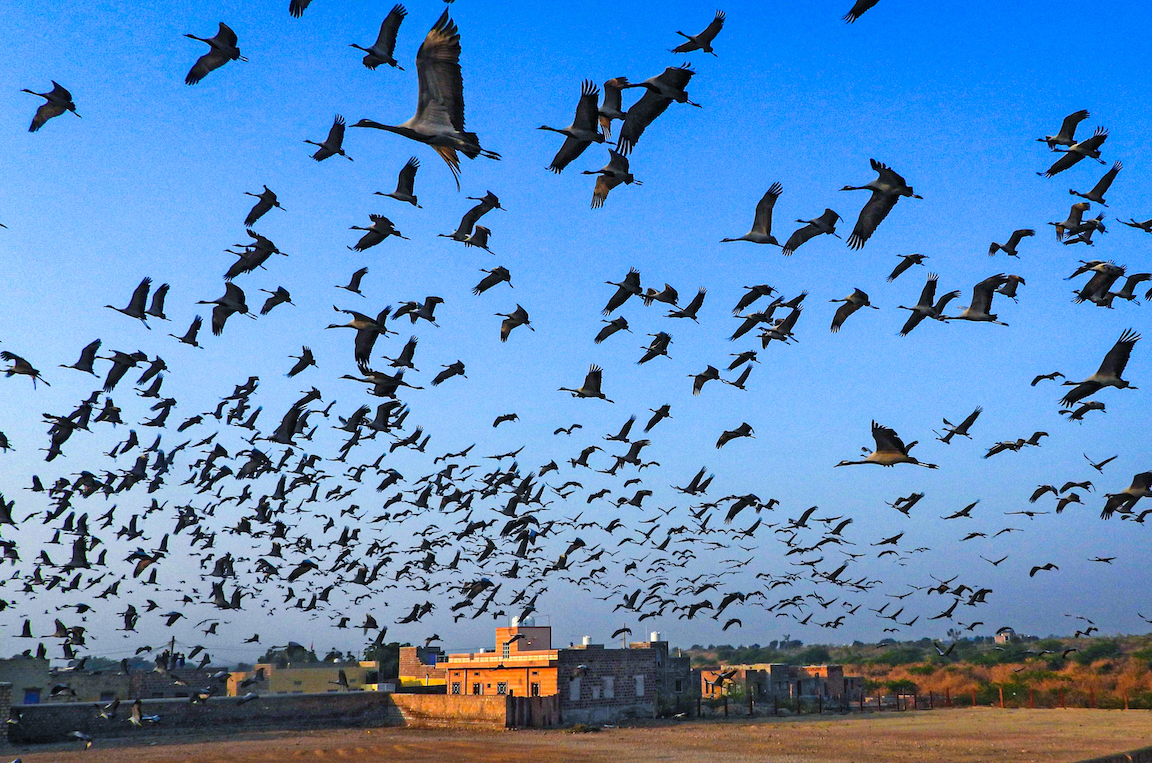 "Locally called ""kurja"", thousands of demoiselle cranes descend upon Kheechan, a small village in Rajasthan, during the winter. Photo: Surya Ramachandran  Cover Photo: The demoiselle crane is a migratory bird that breeds in central Europe and Asia and winters in North Africa, India, and Pakistan.  Cover Photo: Dhritiman Mukherjee"