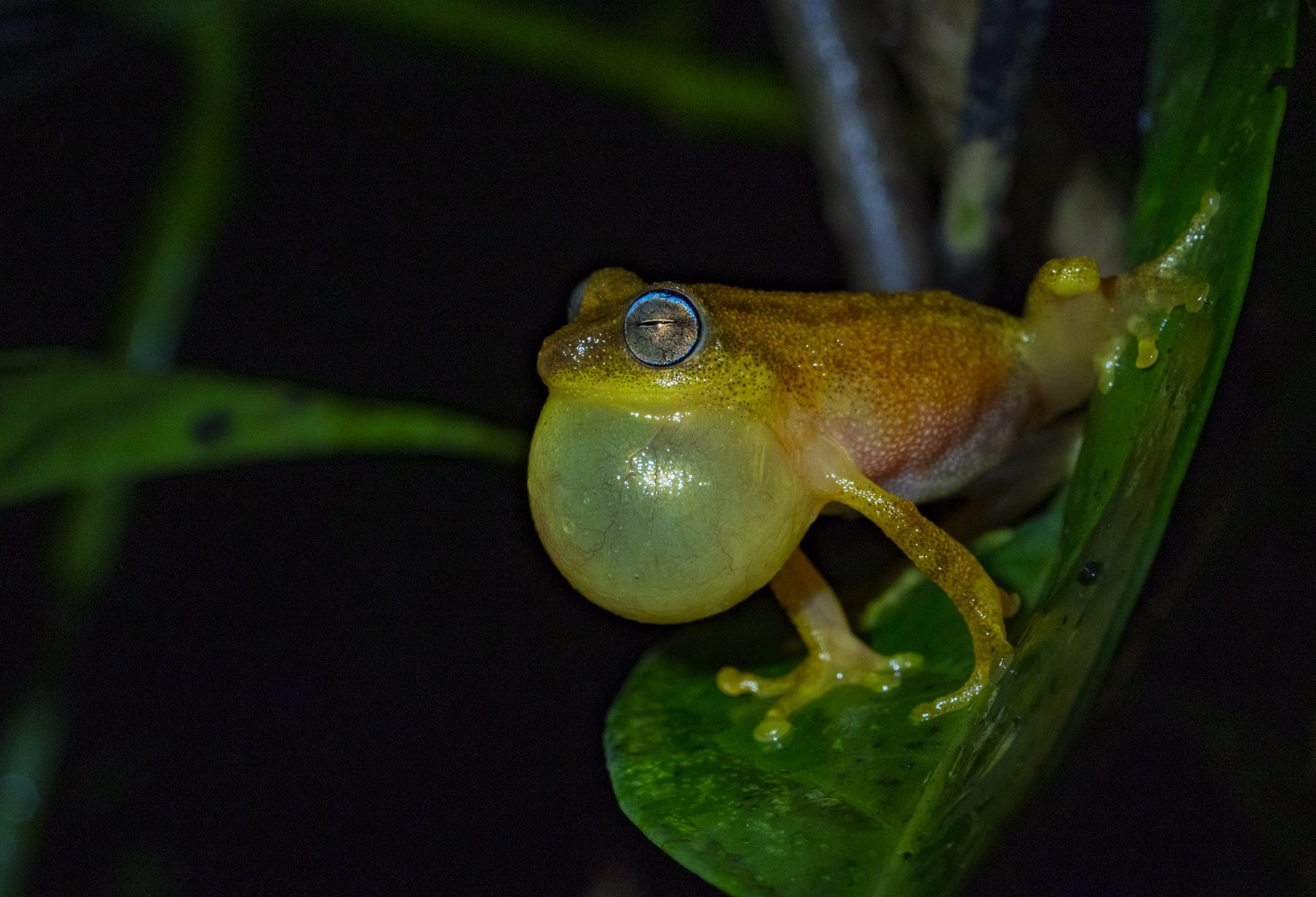 Agumbe's diverse habitat is home to over 25 species of frogs. One that's truly special is the endemic blue-eyed frog (Raorchestes luteolus) named after the bright blue rim on its eyes. Its melodious calls resonate through the rainforest.