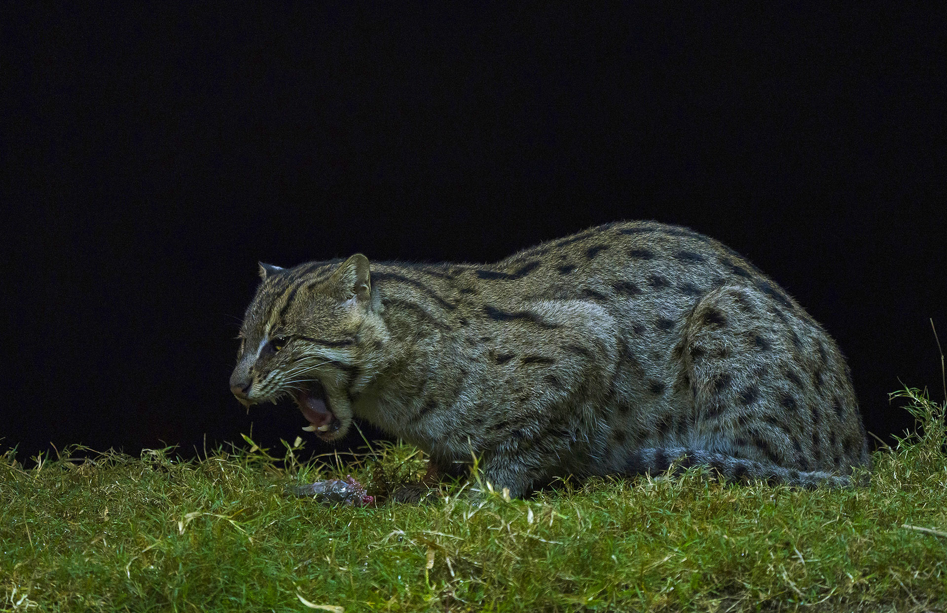 "According to Mannepuri, the fishing cats of the Godavari are not averse to scavenging either. He recalls setting up a camera trap near an otter's burrow to monitor the family's behaviour. ""Otters are adept at hunting for fish, and especially enjoy eating the fish head,"" Mannepuri explains. ""Sometimes, otters will eat the head first, and I have observed two fishing cats, a mother and kitten, eating the leftovers. They relish the belly portion of the fish."" Photo: Tukai Biswas"
