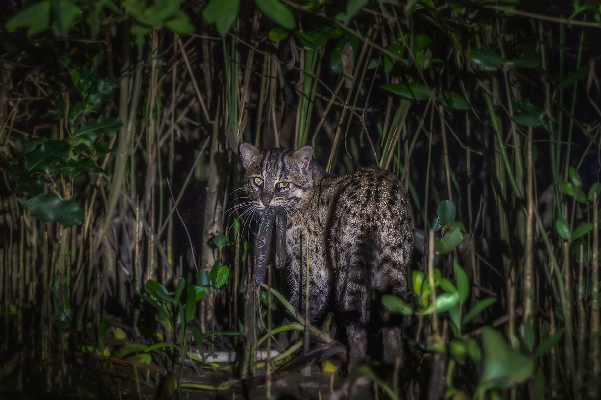 "Ironically, fishing cats take a long time to hunt. ""Yes, they can swim, but they are not underwater hunters,"" explains Mannepuri, who has observed cats waiting on the bank for two to three hours to catch a single fish. When they see suitable prey, the cats will pounce into the water. He also points out that they prefer to jump across a five-to-six-foot stretch of water rather than swim through it. Photo: Pallavi Laveti"