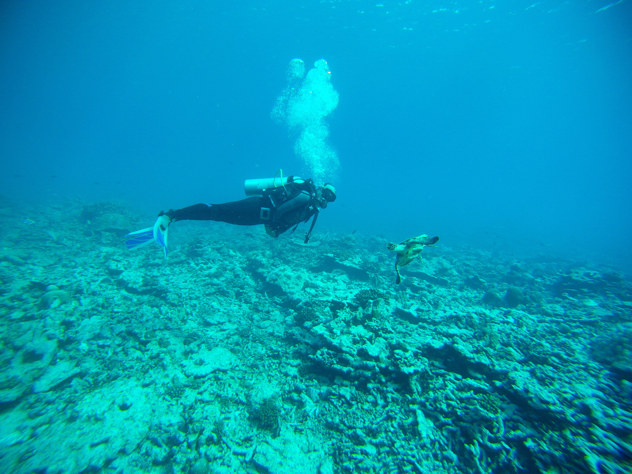 Kartik Shanker encounters a hawksbill turtle diving in the Lakshadweep. Photo: Mahima Jaini