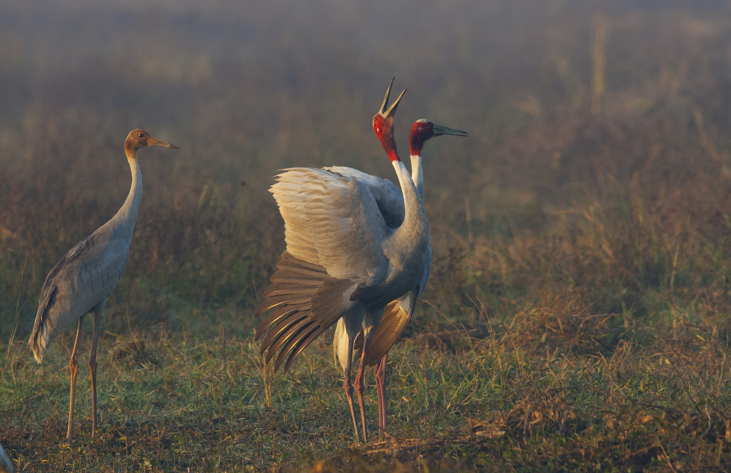 At just over five feet in height, the sarus crane is the tallest flying bird in the world.