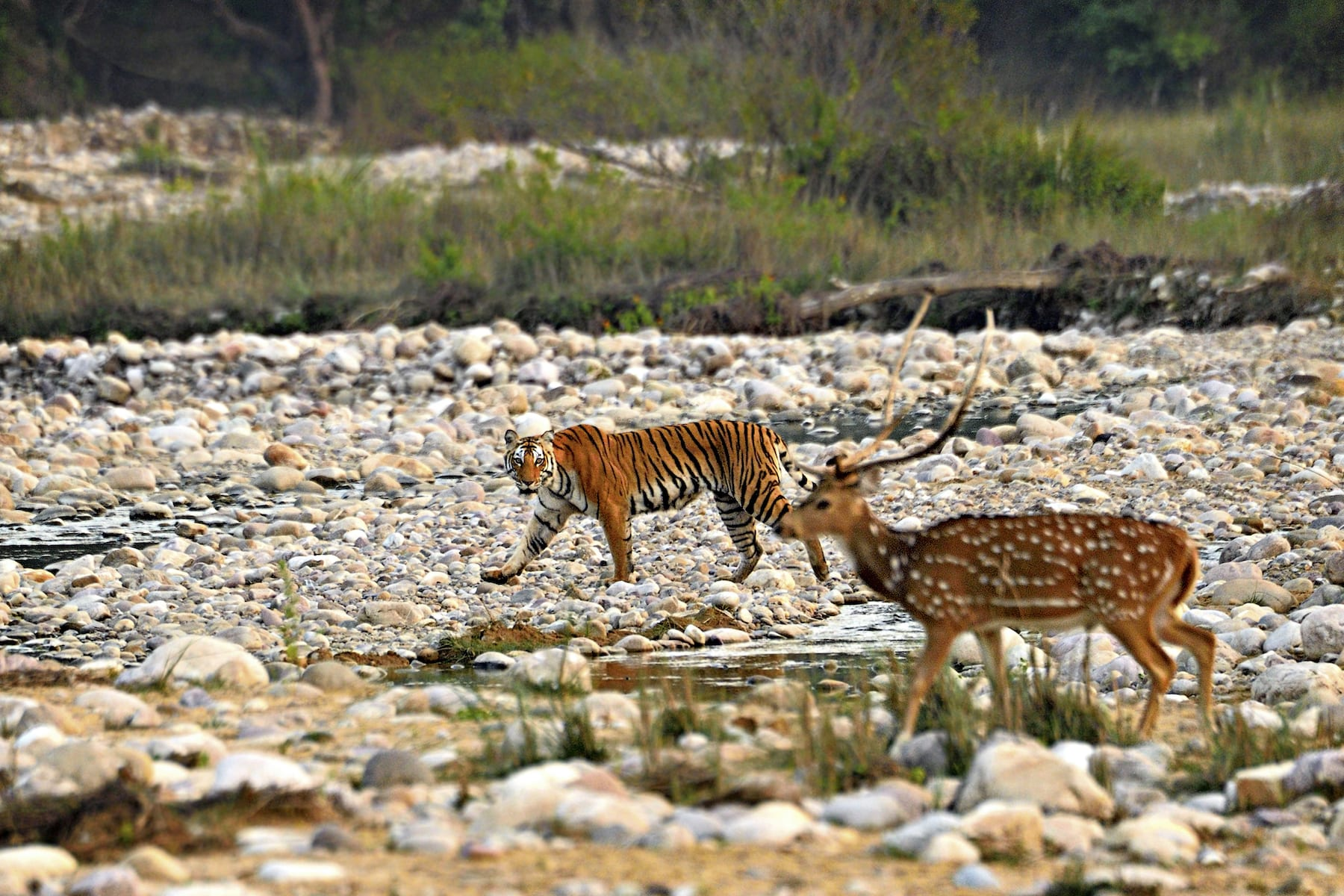 A tigress eyes a potential prey at Jim Corbett National Park. Photo: Rathika Ramasamy, 2019