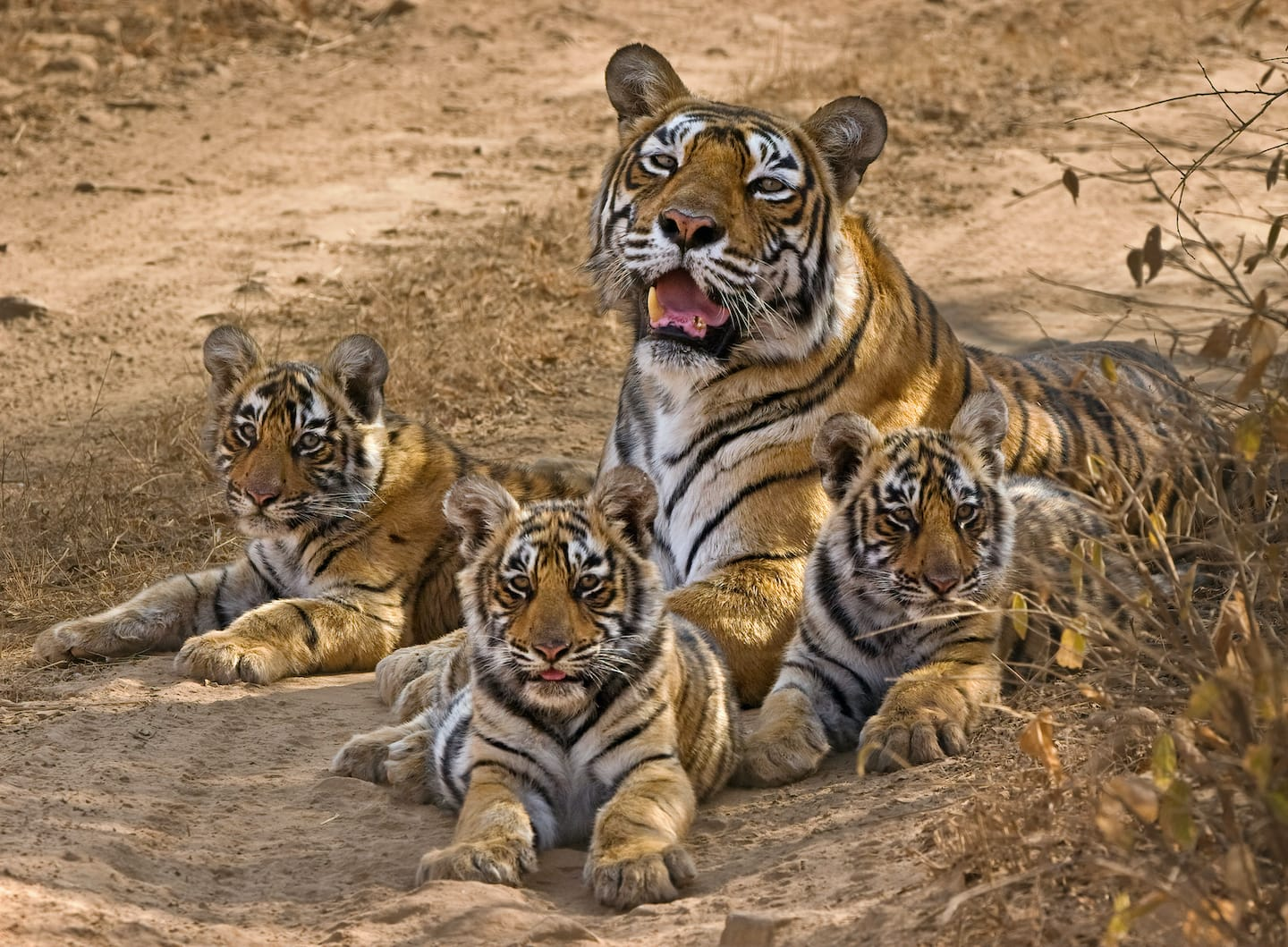 """Machali and her three cubs (T-18 left, T-19 centre, T-17 right), spotted at Ranthambore National Park. Photo: Aditya """"Dicky"""" Singh, 2007"""