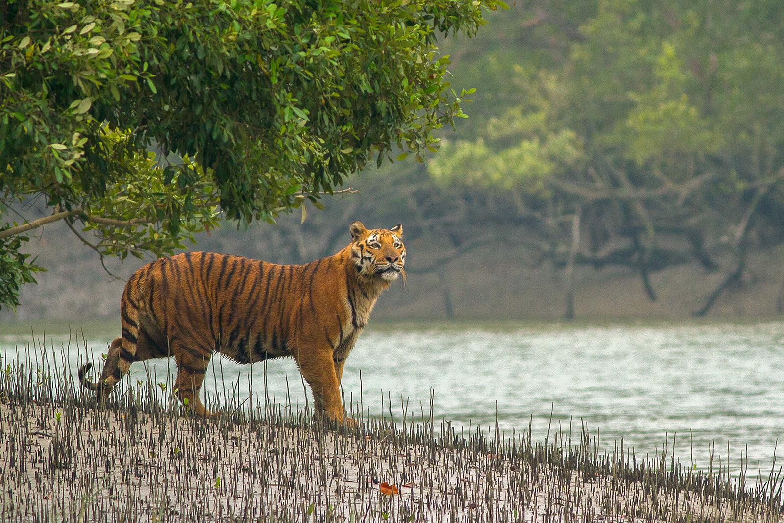 A tiger in the Sundarbans. Photo: Soumyajit Nandy, December 2015