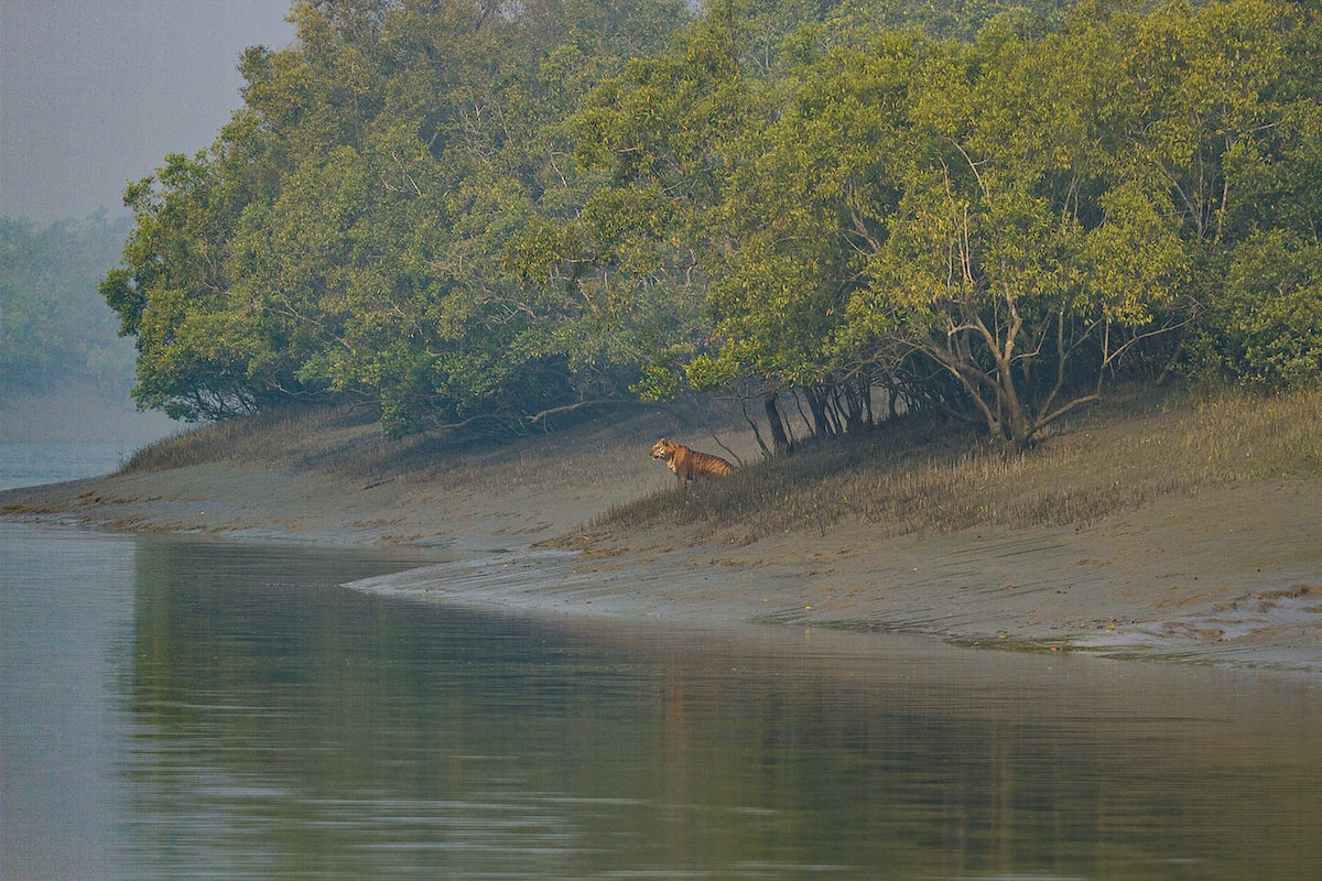 The Sundarbans has regularly protected the coasts of West Bengal from storms and cyclones, but with climate change and rising sea levels, islands are shrinking and the uniquely adapted tiger is at risk.