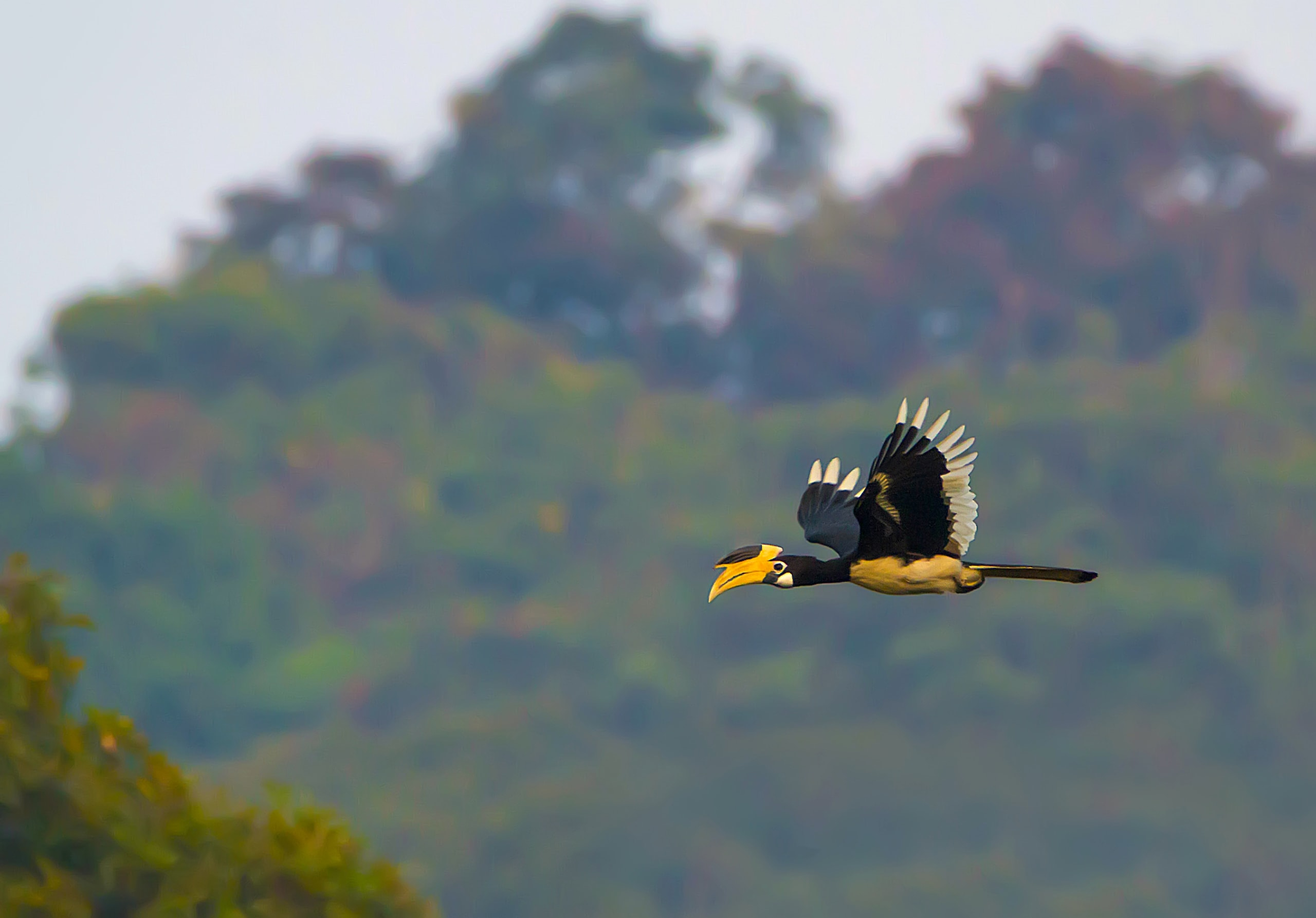 When in flight, the white tips on its black wings give the hornbill a glorious halo. Photo: Saswat Mishra / CC BY-SA 4.0