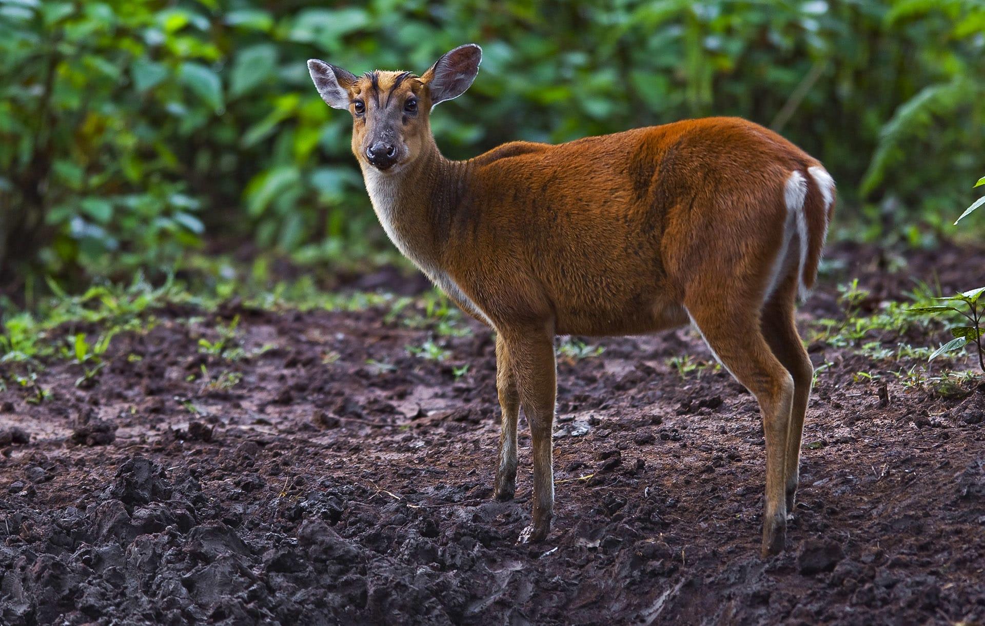 Barking Deer or Indian Muntjac: The Solitary Reaper