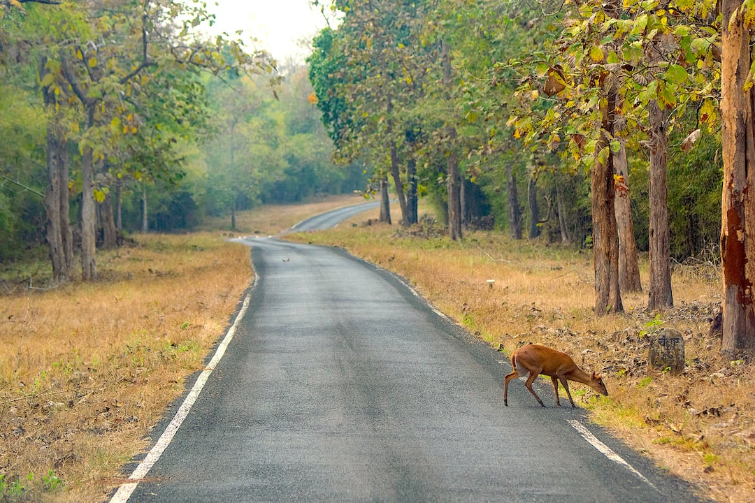 Barking deer are rarely seen out in the open without an escape route into cover. Even here in the Tadoba-Andhari Tiger Reserve, the deer emerged for a couple of seconds to cross the road before disappearing into the bamboo thicket. Photo: Shashank Birla  Cover photo: The Indian muntjac or barking deer is endemic to South and Southeast Asian countries but has a wide distribution from northern India to Java, Indonesia. It tends to live mostly within and in the vicinity of primary and secondary forests. This one was photographed in the BR Hills, Karnataka. Cover Photo: Dhritiman Mukherjee