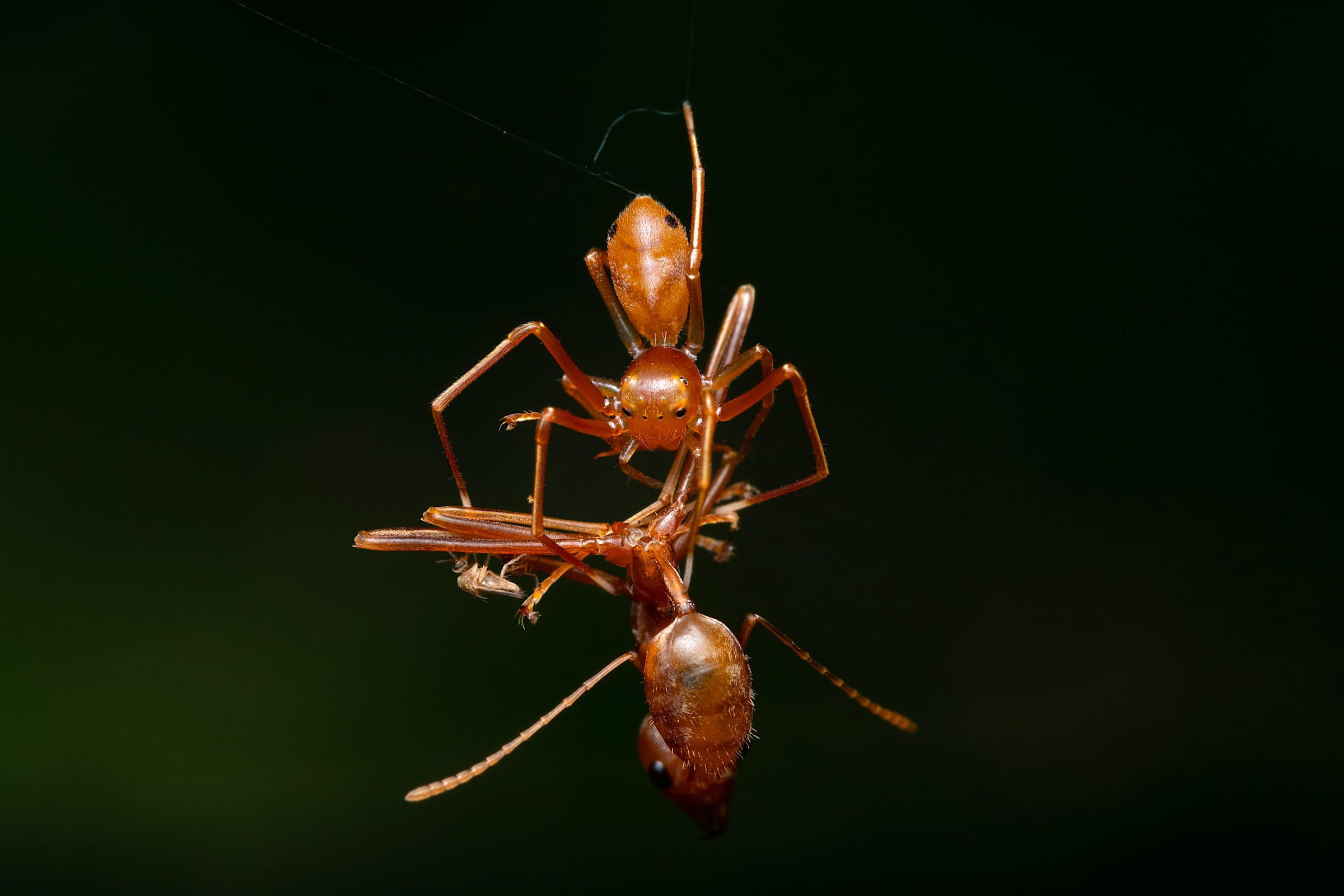An ant-mimicking Amyciaea sp. is seen gripping an envenomated weaver ant while suspended from a line of silk.  Photo: Jithesh Pai