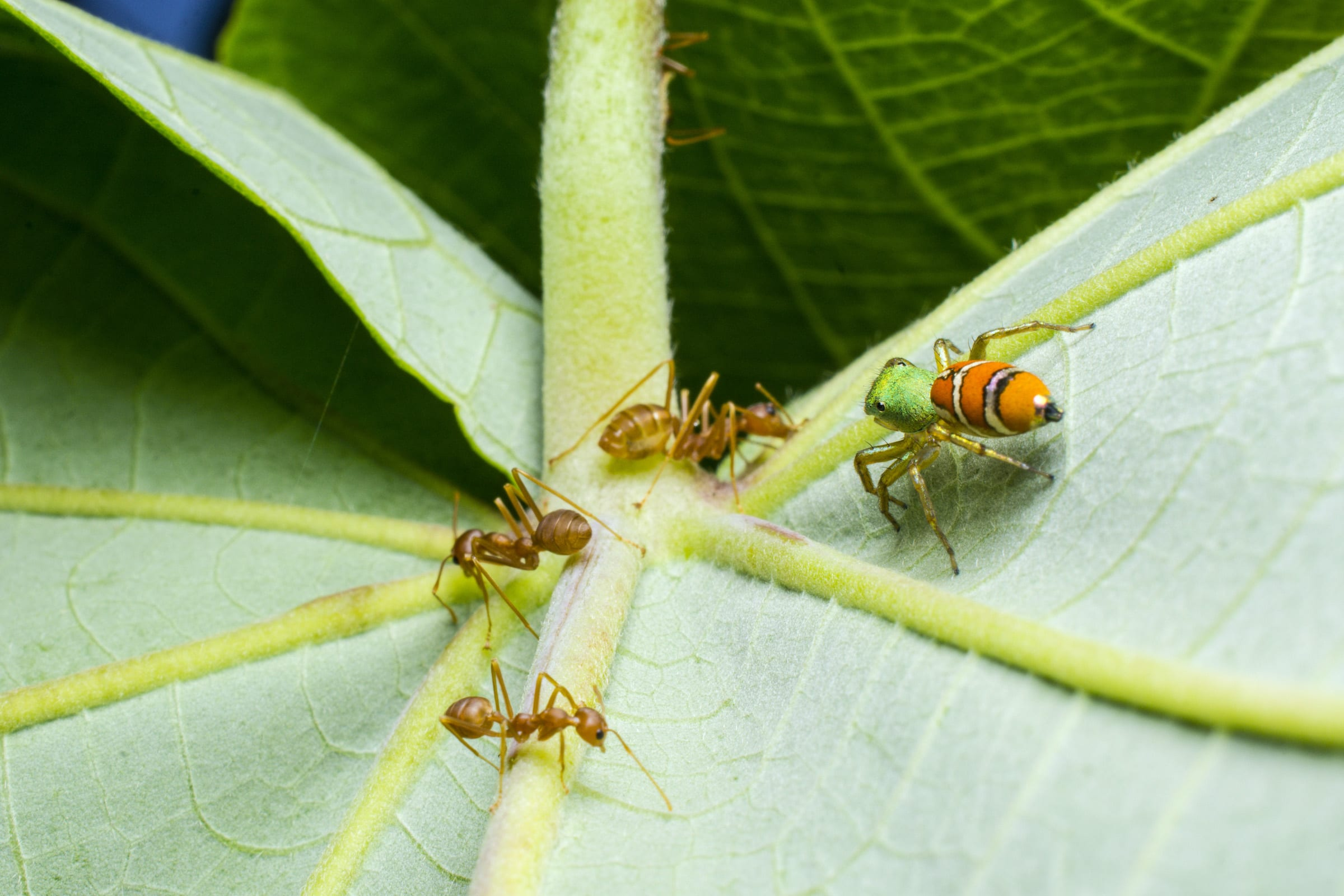 The weaver-ant mimicking spider Cosmophasis sp. casually approaches the entrance of a weaver ant 'honeydew farm'. Photo: Samuel John