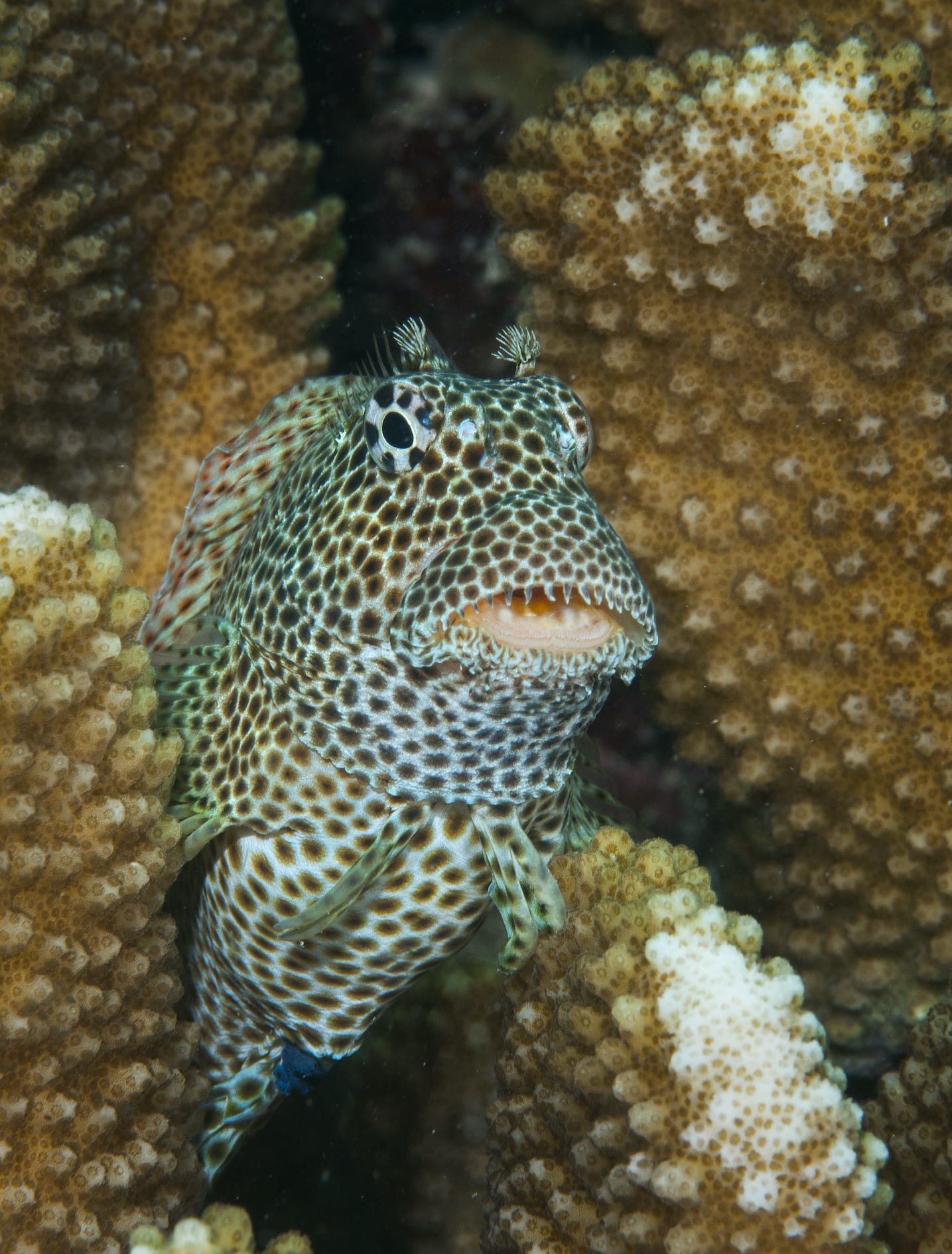 The leopard blenny (Exallias brevis) is a goofy giant among blennies, growing up to 14 cm long. This species is unique in its diet, feeding exclusively on coral, leaving behind bleached patches as evidence.