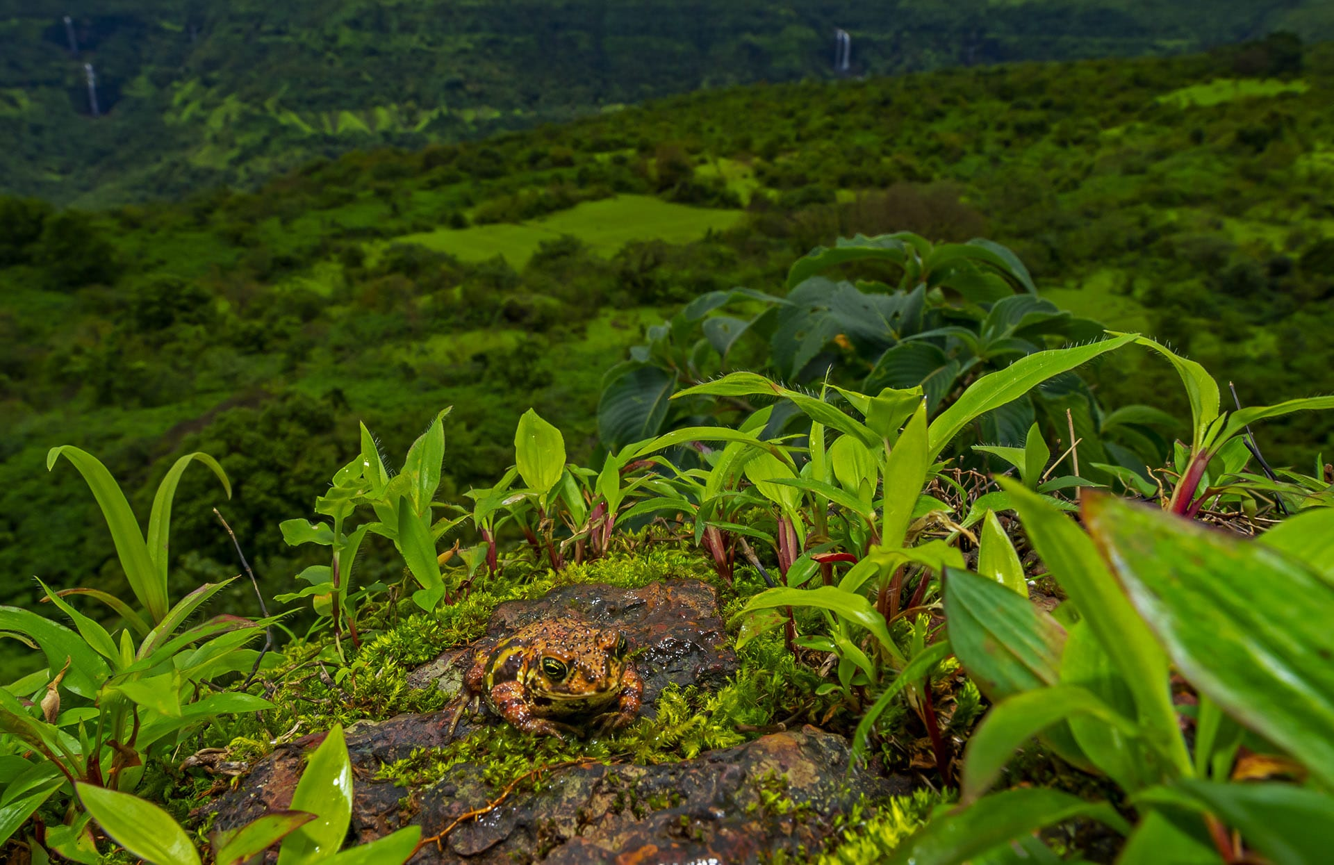 The exposed lateritic rocky outcrops in this landscape support a unique biodiversity. One amphibian which is confined to this habitat is the Amboli toad (Xanthophryne tigerina). During the early monsoon the Amboli toad is most commonly seen hopping around the habitat. Due to their restricted distribution and loss in the quality and extent of their habitat, this toad is considered as 'Critically Endangered' on the IUCN Red List for threatened species. Increasing anthropogenic pressure on this habitat is threatening to wipe out this king of the plateaus.