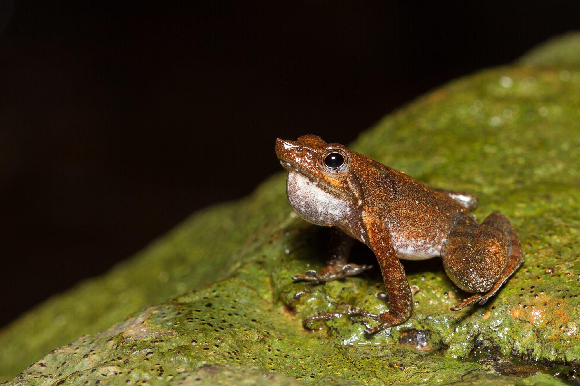 Shaking a Leg with the Kottigehar Dancing Frog
