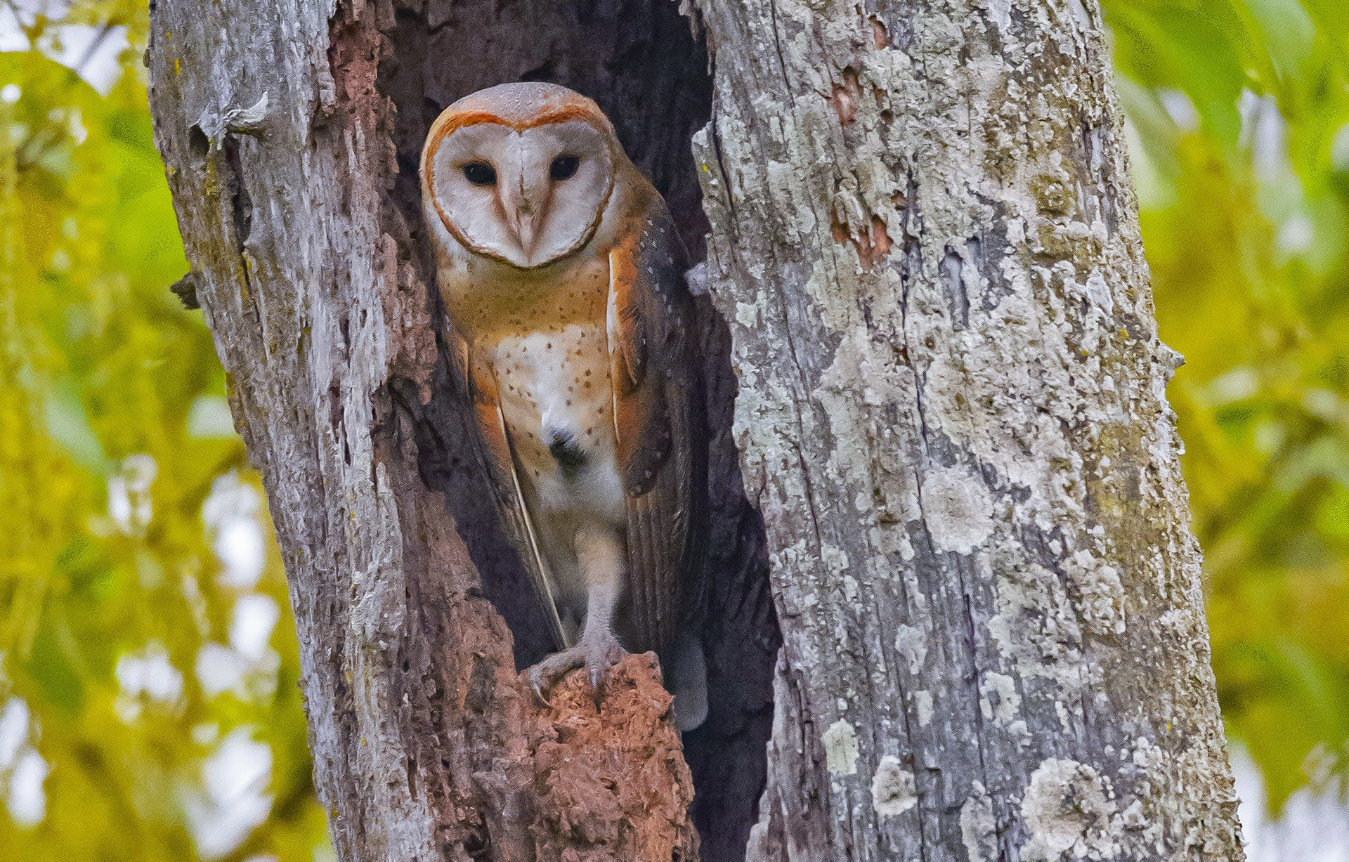 """Though the barn owl's (Tyto alba) flight is virtually soundless, it is a noisy bird. """"Barn owls are one of the most cosmopolitan birds,"""" says Dalvi. They're commonly seen in crowded, bustling cities like Mumbai, where they contribute efficiently to pest control. Though the birds are silent in flight, they're extremely vocal, and you can hear their hissing and screeching for long distances even within cities. """"They often live in large families with five to six chicks, and can make quite a racket,"""" says Dalvi."""