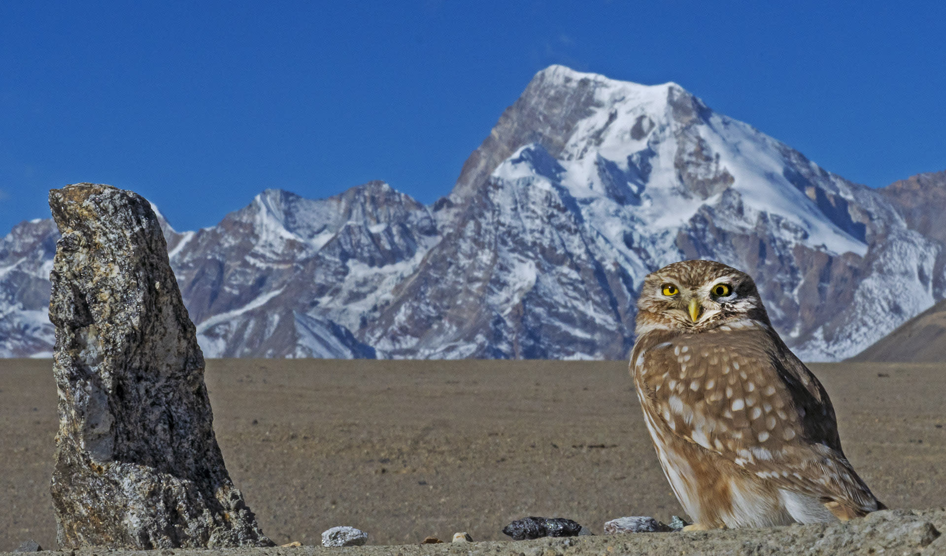 Within India, the little owl (Athene noctua) is found in the trans-Himalayas, on rocky outcrops within open areas. This small, diurnal bird, pictured here in Sikkim, likes worms and beetles, and is often seen on the ground.