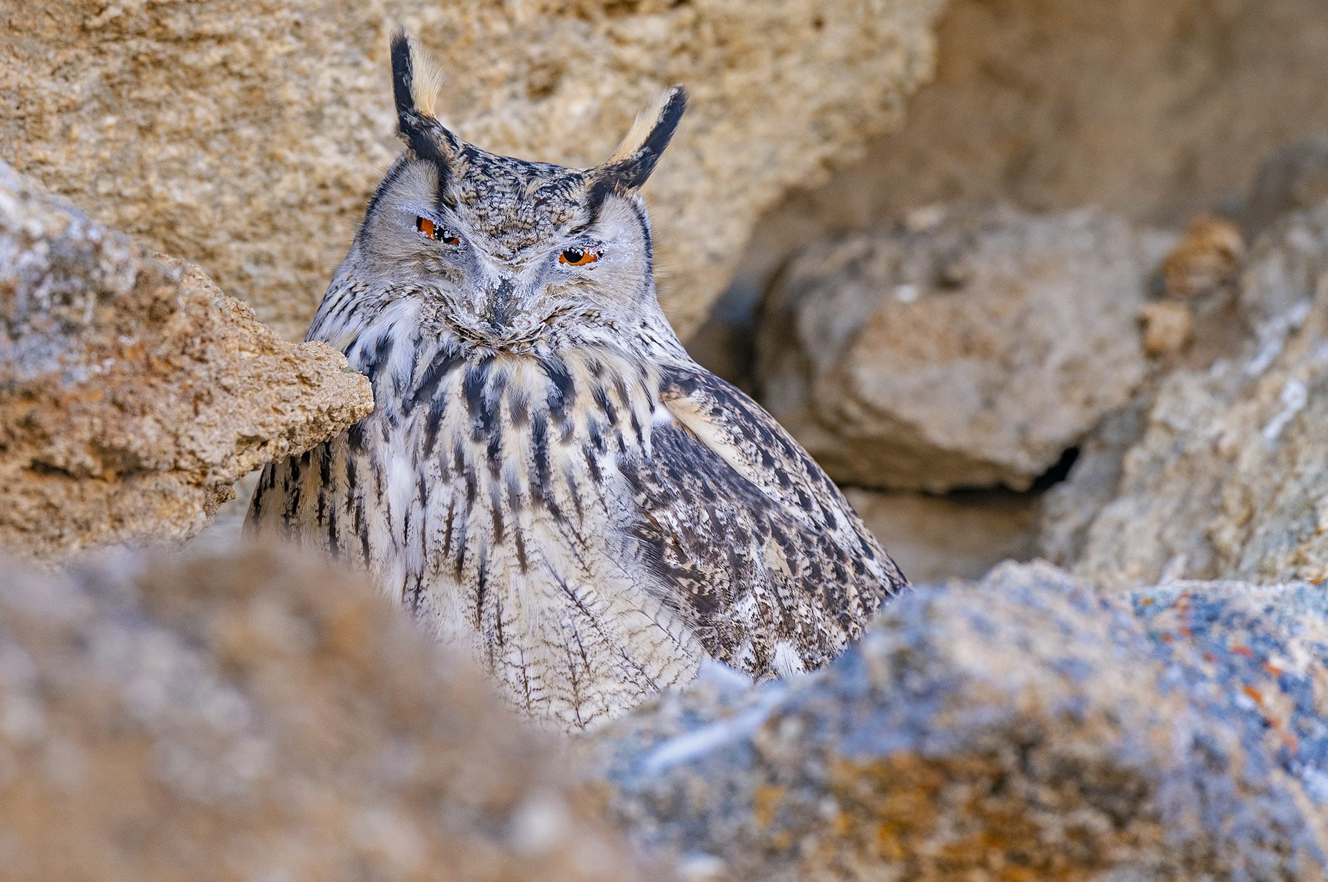 """Eagle-owls are large with a tremendous wingspan, sometimes measuring nearly six feet across. They also sport prominent ear tufts, but their most recognisable feature is their eyes, ranging from a fiery orange to a dark red.  Found across a range of wooded habitats, these birds are more common in rocky, barren landscapes. The Indian eagle-owl (Bubo bengalensis) (top) is also called the rock eagle-owl. """"You won't find them in cold, high-altitude areas. They prefer warm regions and scrub forests where they perch at the base of a bush,"""" says Shashank Dalvi. The Eurasian eagle-owl (Bubo bubo) (above) on the other hand is always found in cold deserts like Ladakh. They're brilliant at camouflage, and blend artfully into the rocky landscape."""